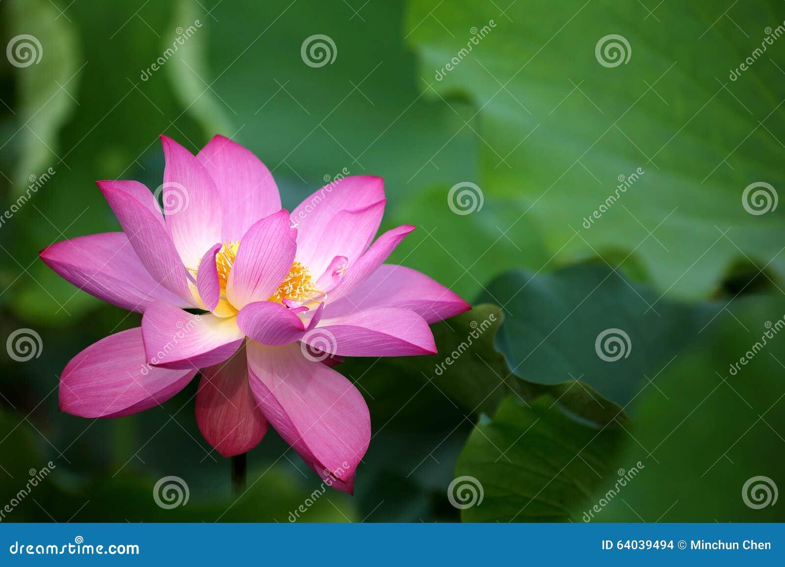 一朵精美桃红色莲花的特写镜头在盛开的