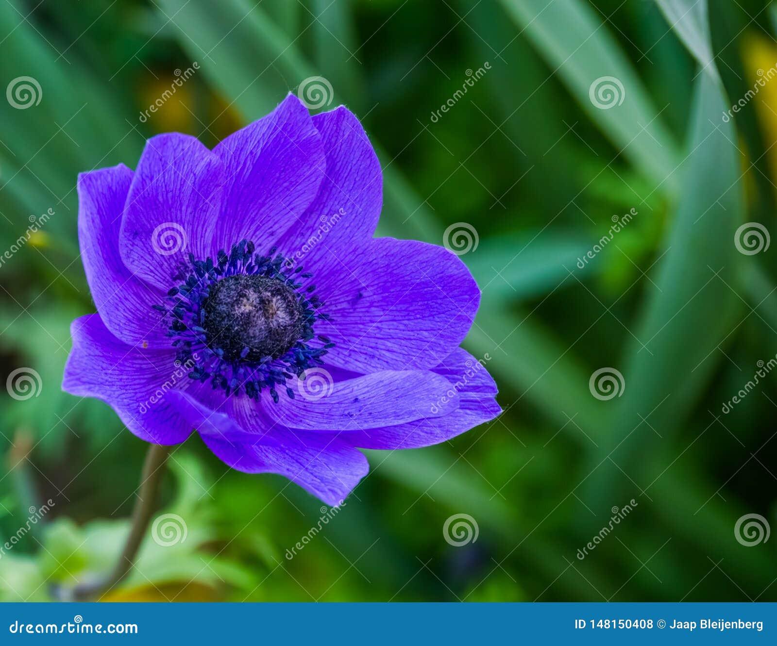 一朵紫色银莲花属花的宏观特写镜头,普遍的耕种的装饰花,庭院的五颜六色的花