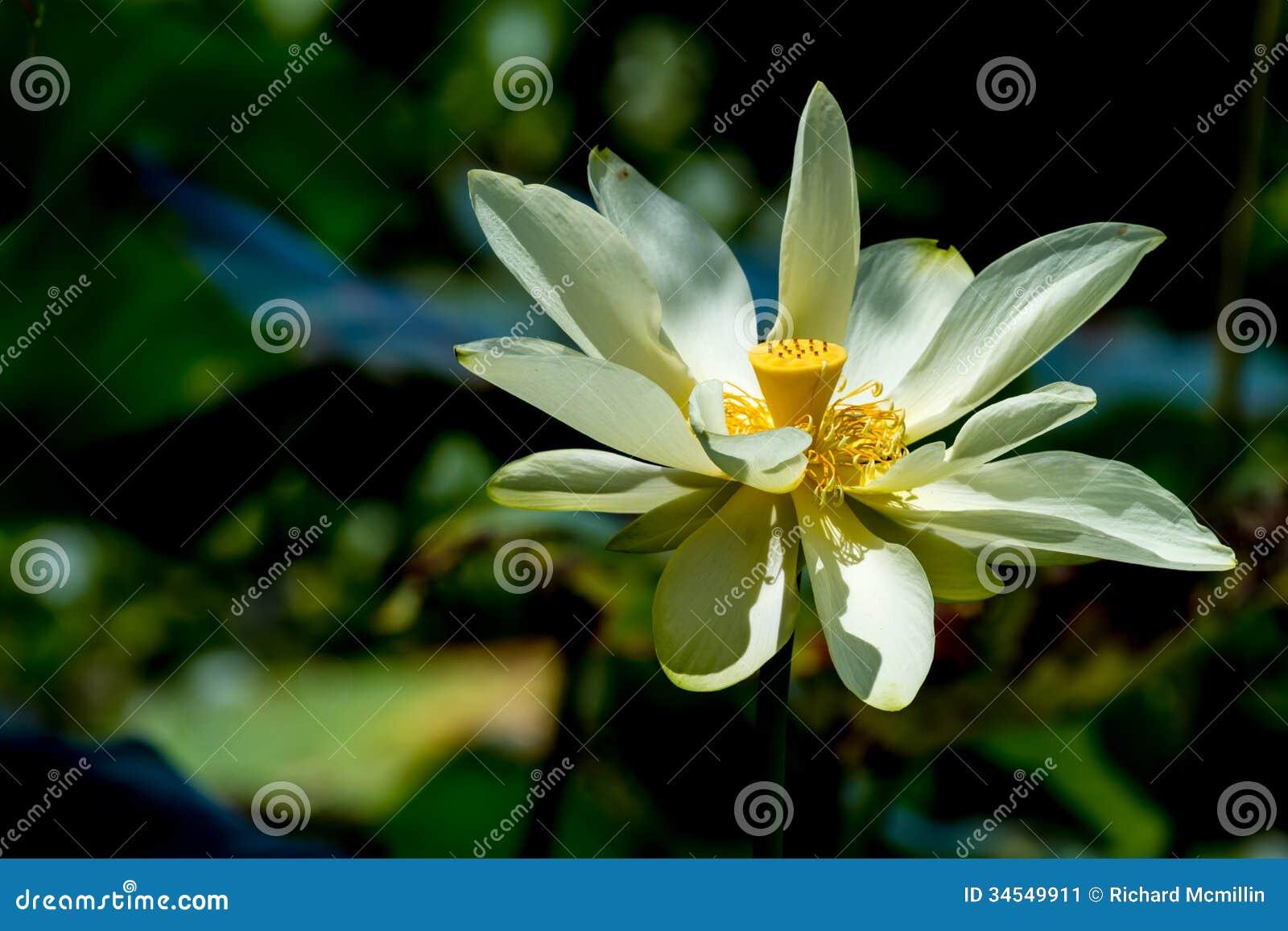 一朵美丽的开花的黄色莲花野花