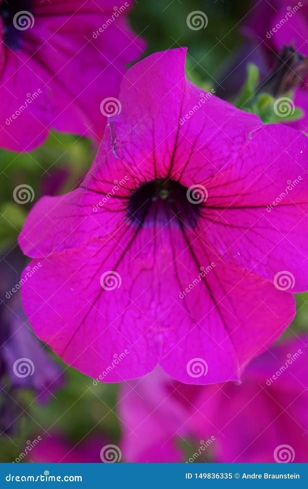 一朵美丽的桃红色喇叭花的宏观射击