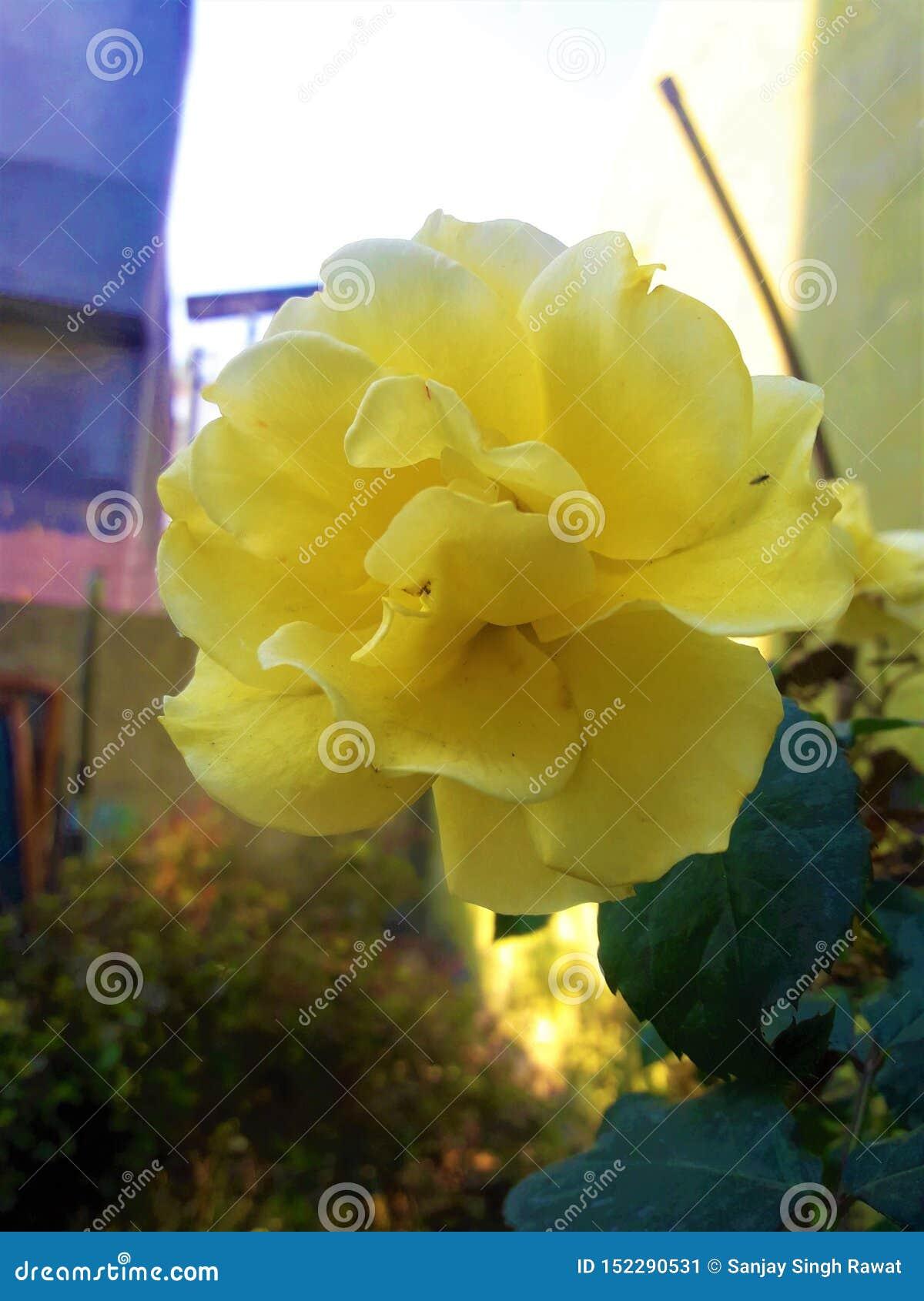 一朵美丽的轻黄色罗斯花