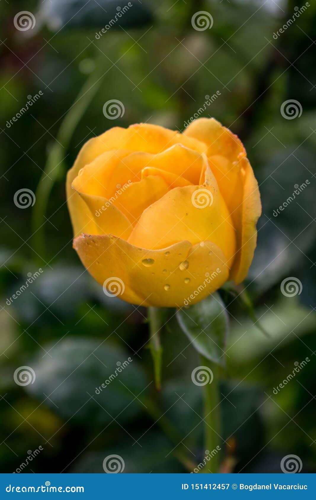 一朵非常美丽的黄色玫瑰与飞溅水在一下雨天以后 自然是很美妙的!descktop背景的照片,