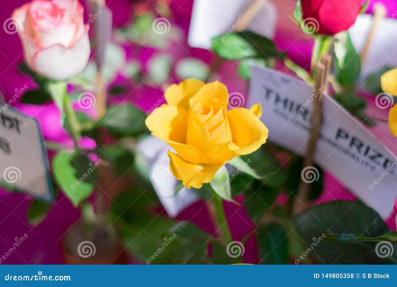 一朵黄色玫瑰是类罗莎家庭蔷薇科木质的四季不断的开花植物  与词根和锋利的皮刺的灌木 ??a