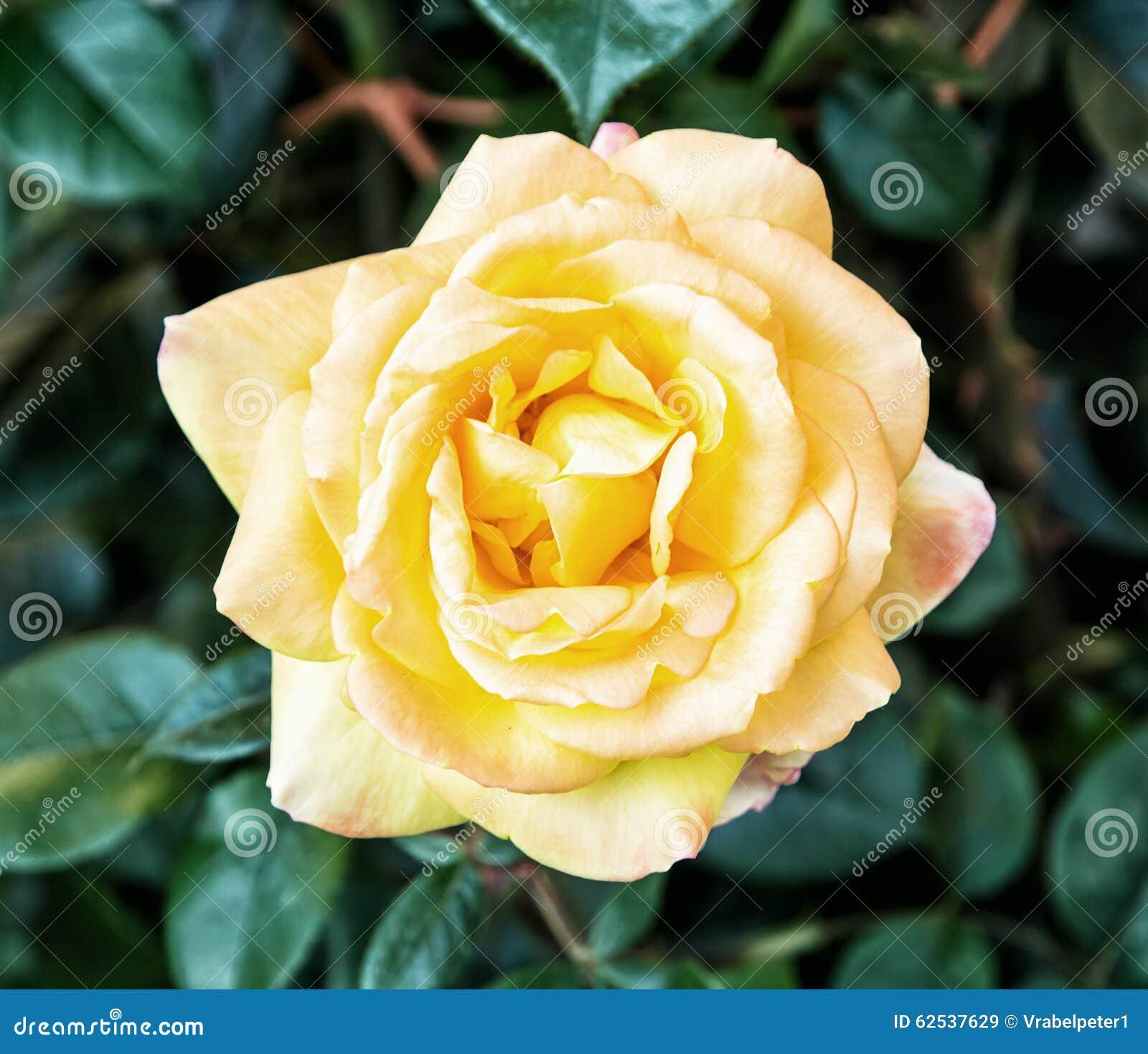 一朵黄色玫瑰细节照片