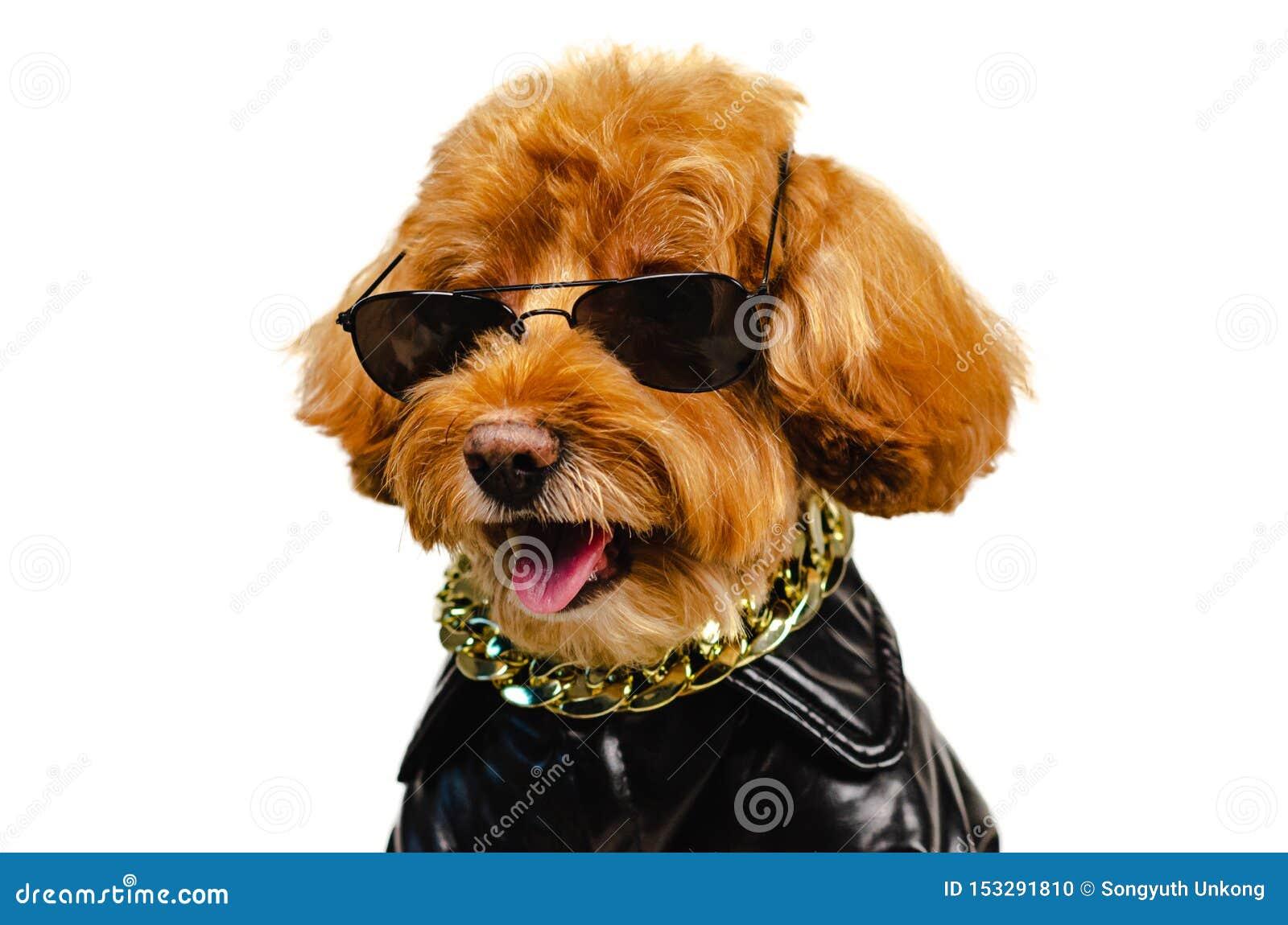 一条可爱的微笑的棕色玩具狮子狗狗佩带的太阳镜,金黄项链和穿戴与皮夹克旅行概念的