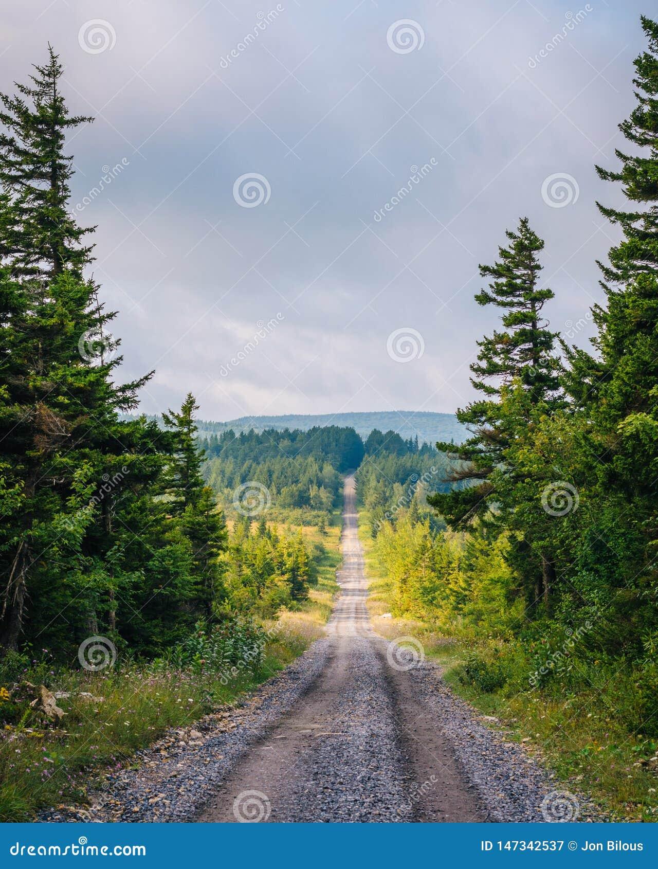 一条土路和松树在移动式摄影车草皮原野,Monongahela国家森林,西维吉尼亚