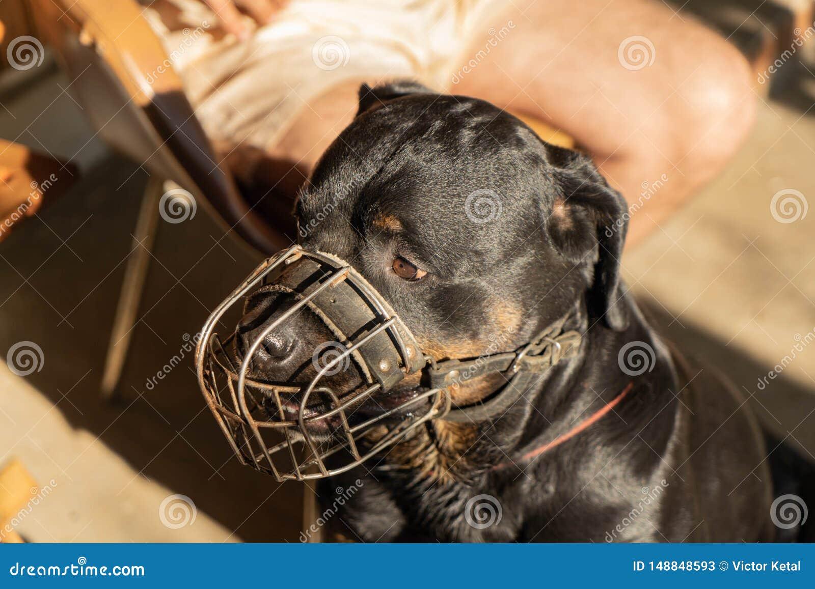 一条成人Rottweiler狗的画象在金属枪口的在一好日子