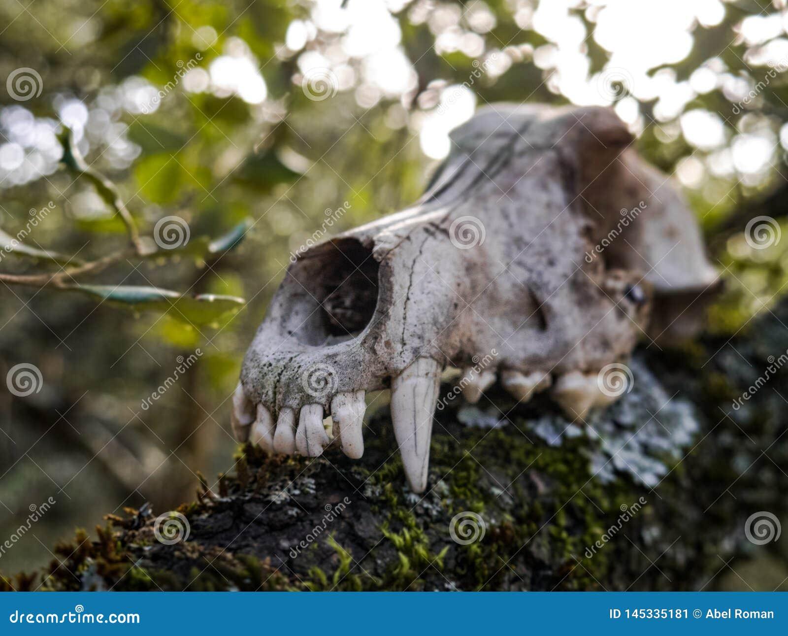 一条狗的头骨在森林里,可怕