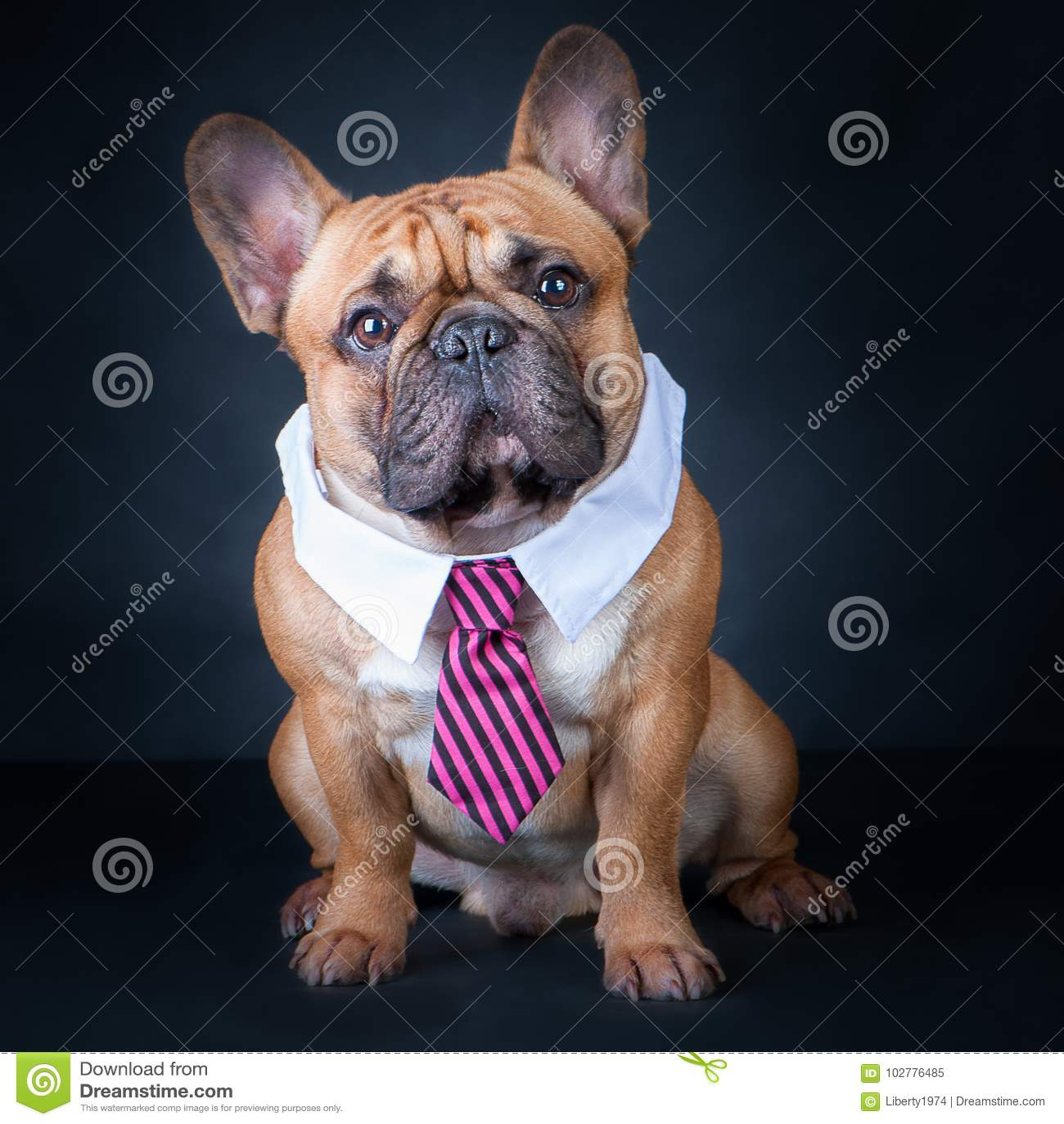 一条狗,法国牛头犬在领带和白领 教育,训练狗