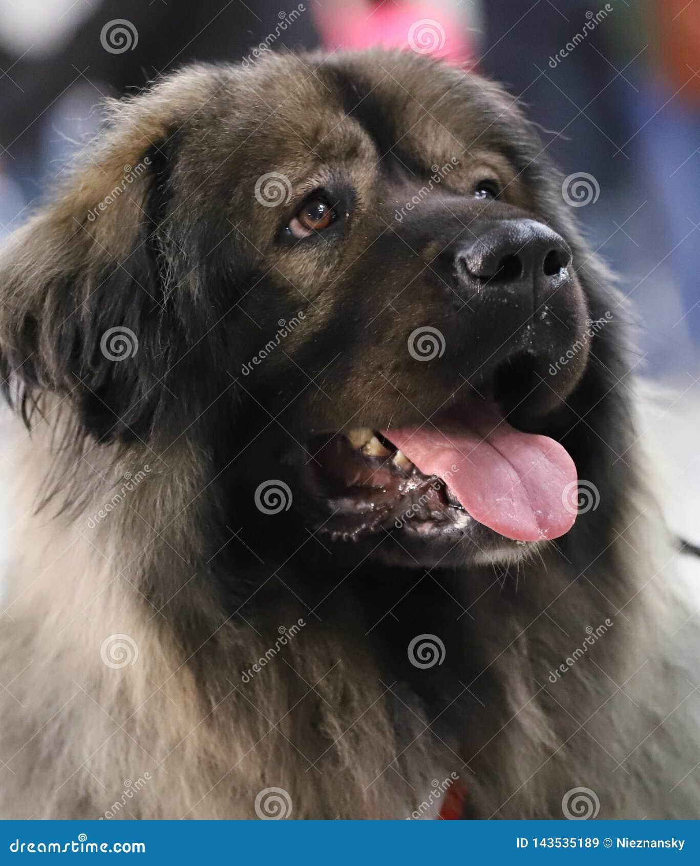 一条美丽的良种狗的画象