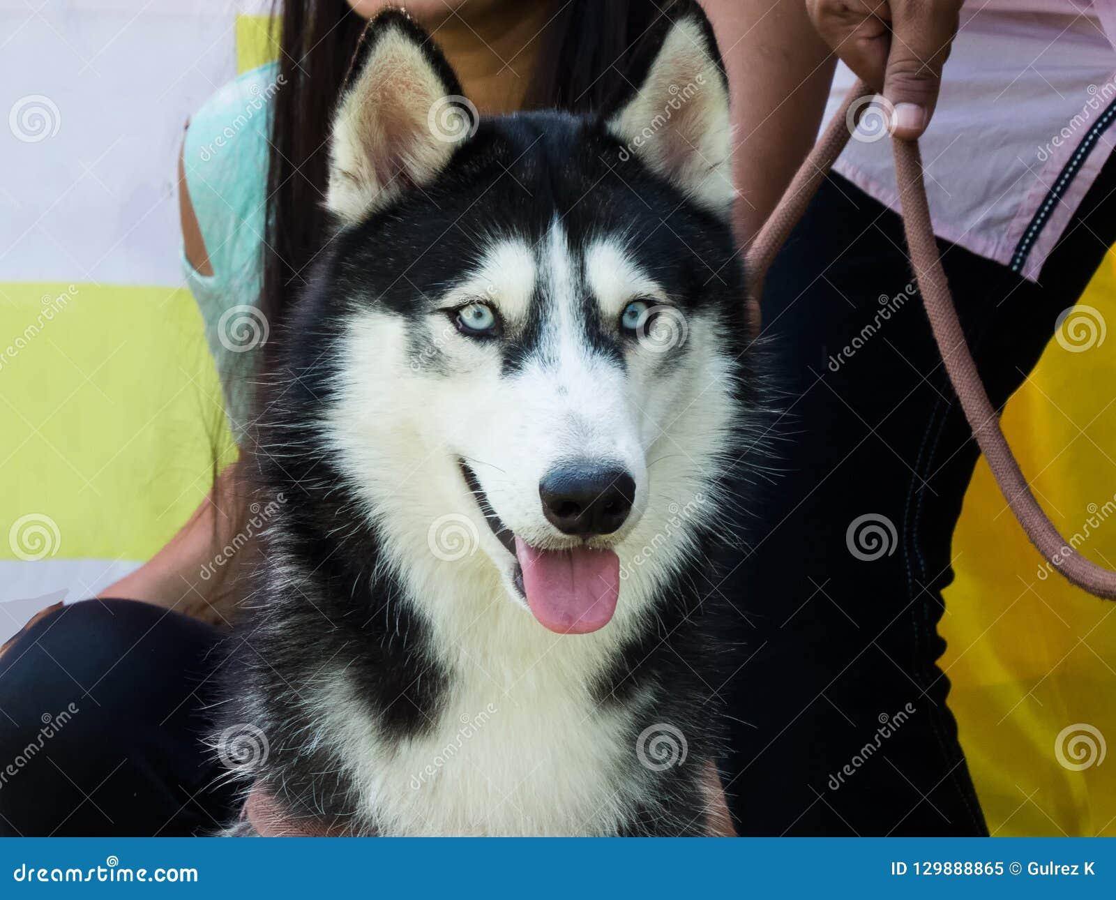 一条美丽的西伯利亚爱斯基摩人狗的特写镜头