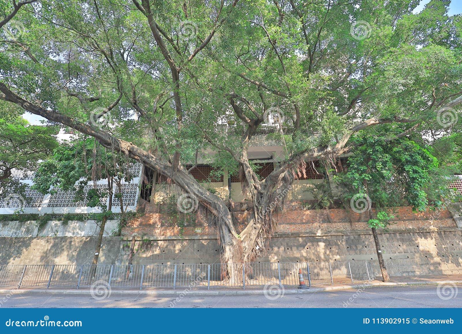 一棵大顶上树的树和的分支
