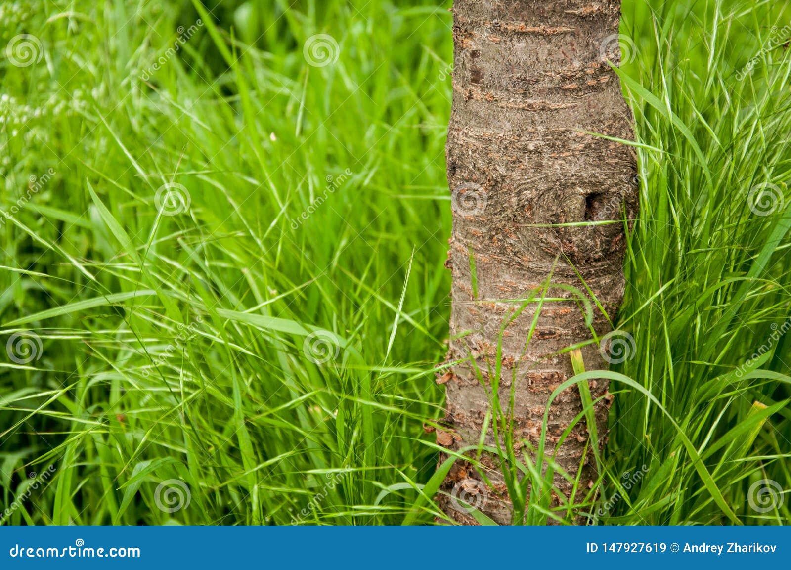 一棵小樱桃树的树干在夏天 生长高绿草 这是夏天外面