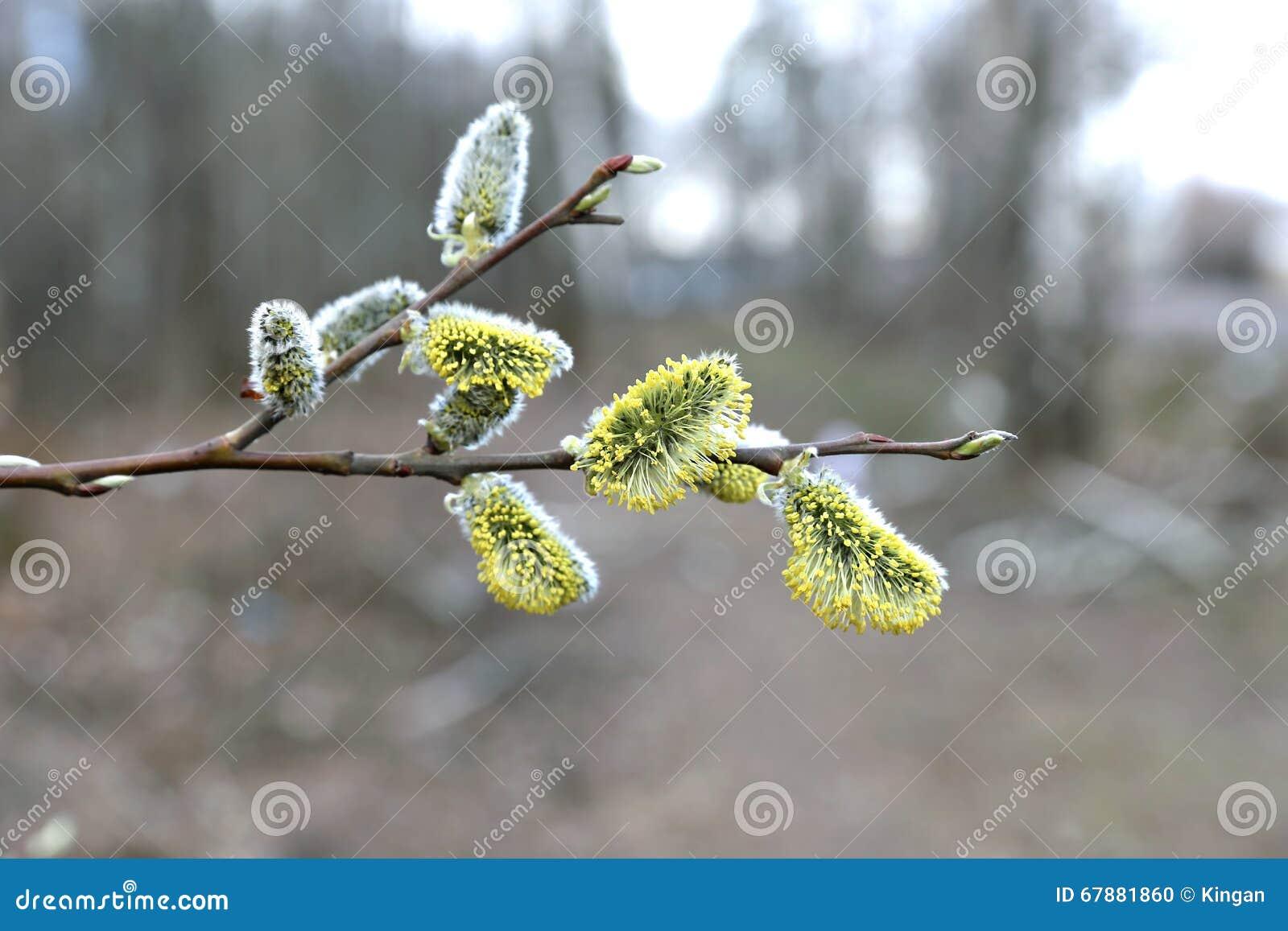 一棵开花的杨柳的分支