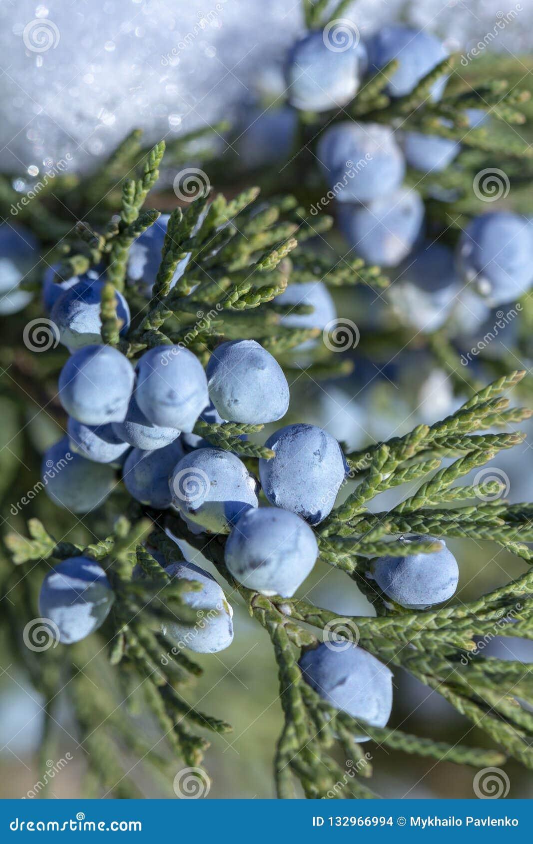 一棵杜松的美丽的灌木用莓果