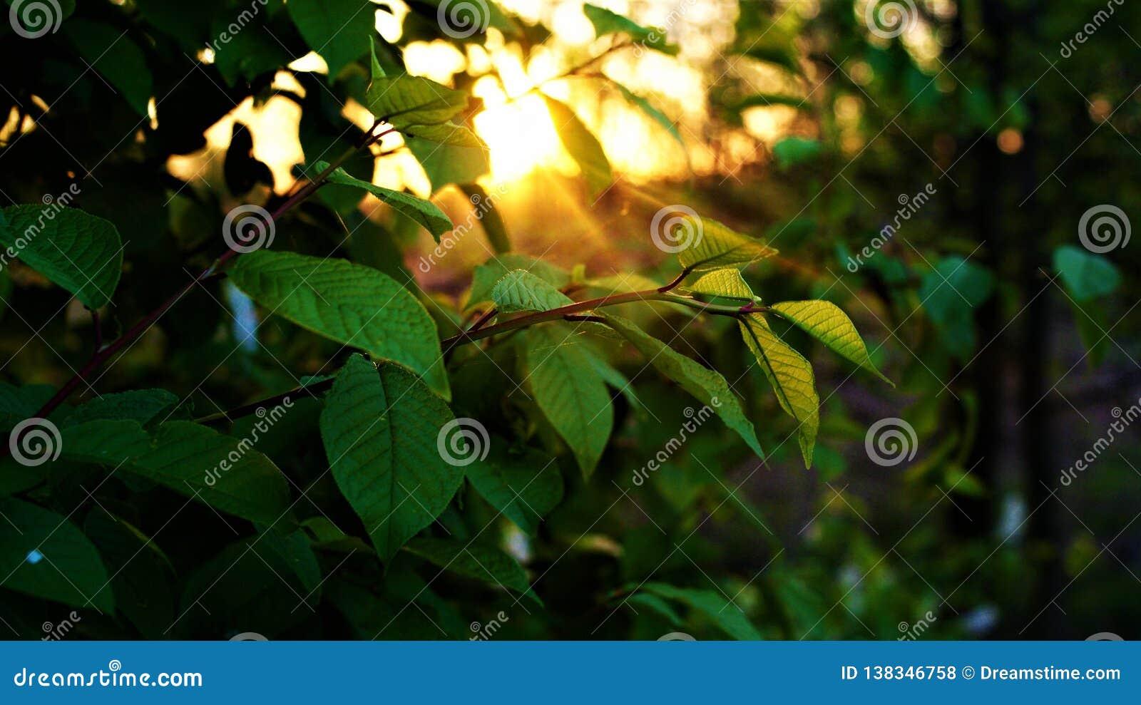 一棵树的分支在日落的