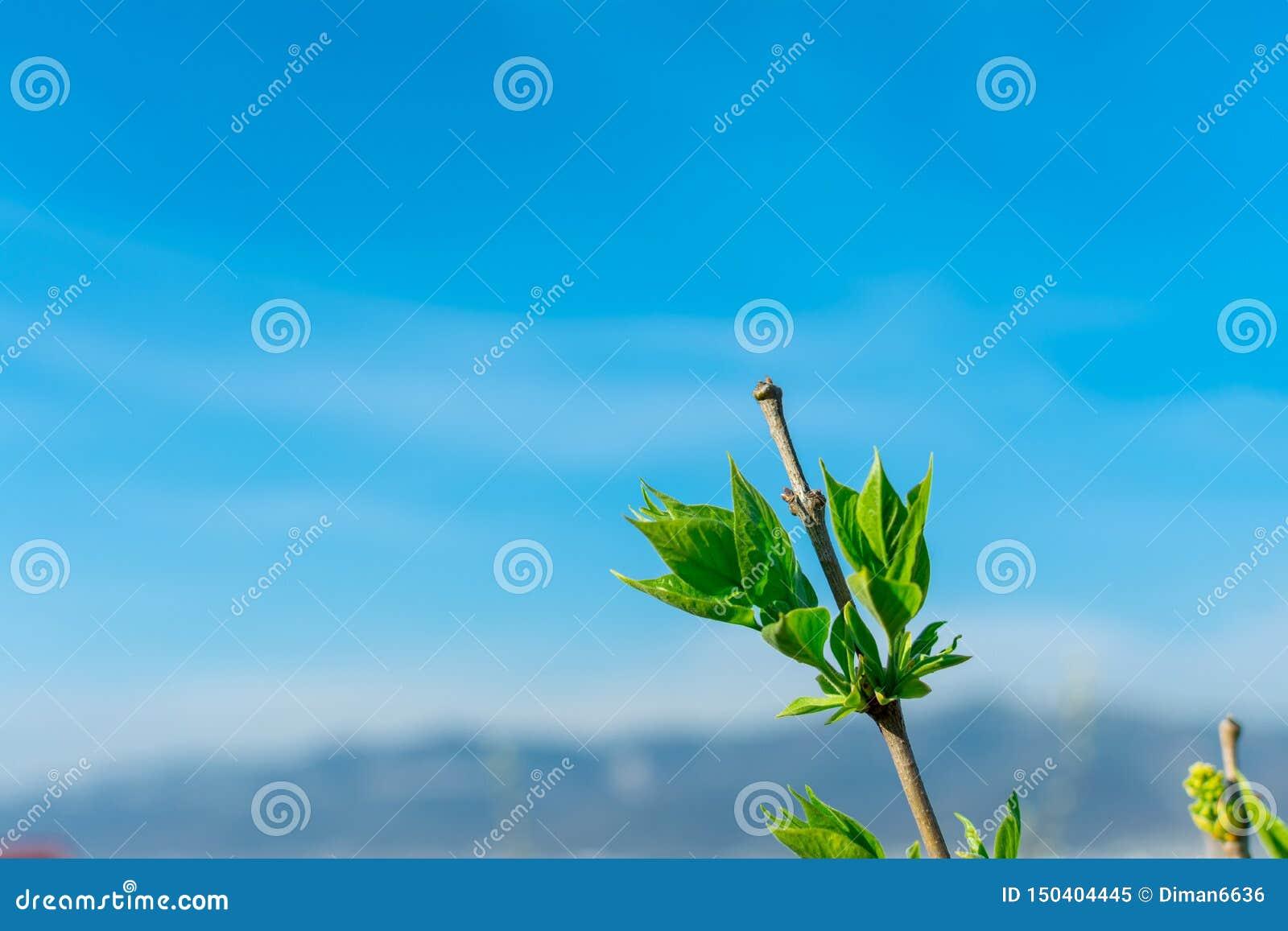 一棵洋梨树的分支与年轻绿色叶子的反对在框架,拷贝空间的角落的天空蔚蓝