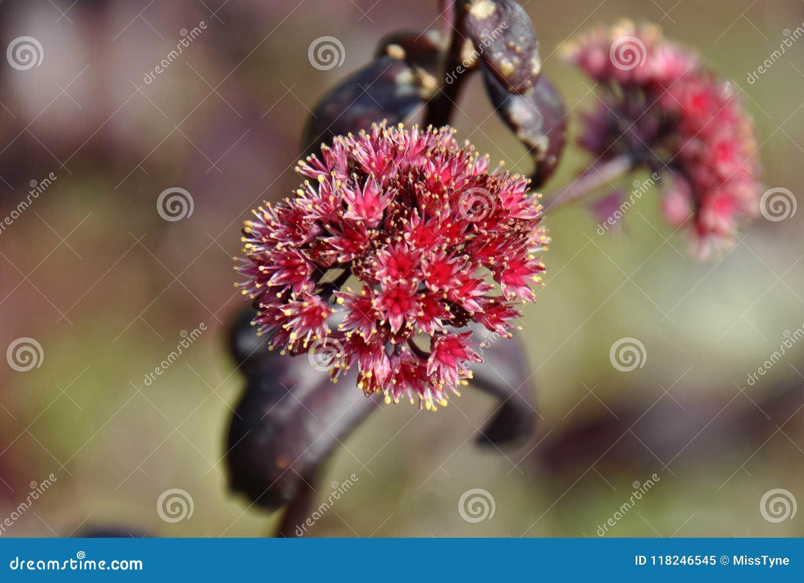 一棵红色乳草植物的开花
