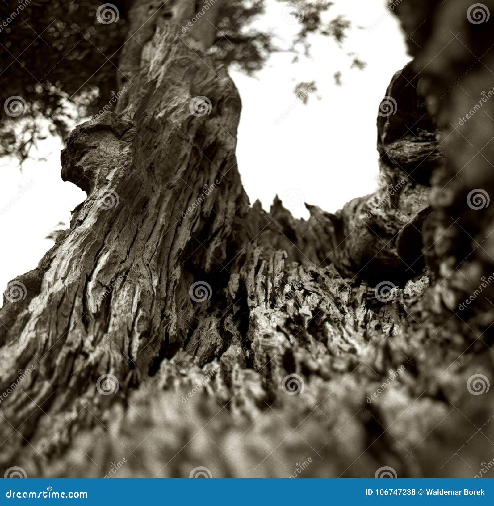 一棵老橄榄树的一根破裂的树干的内部在意大利普利亚