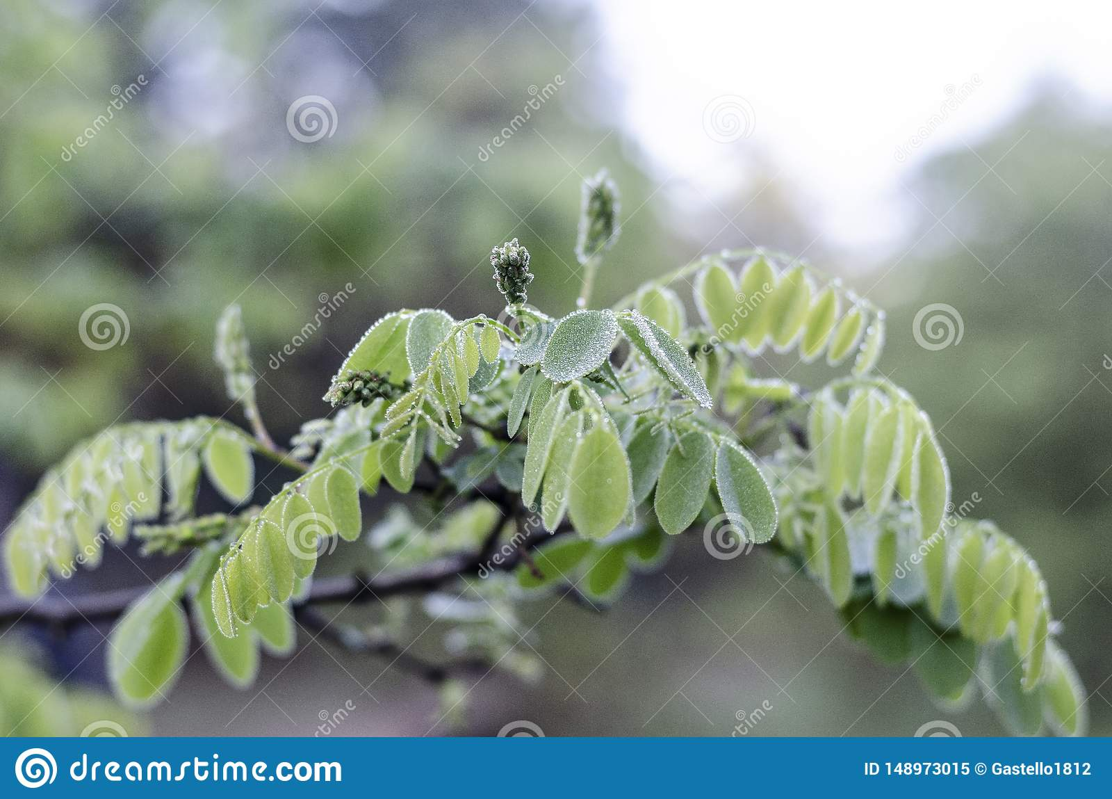 一棵金合欢树的分支与年轻绿色叶子的在雨以后 大在中心