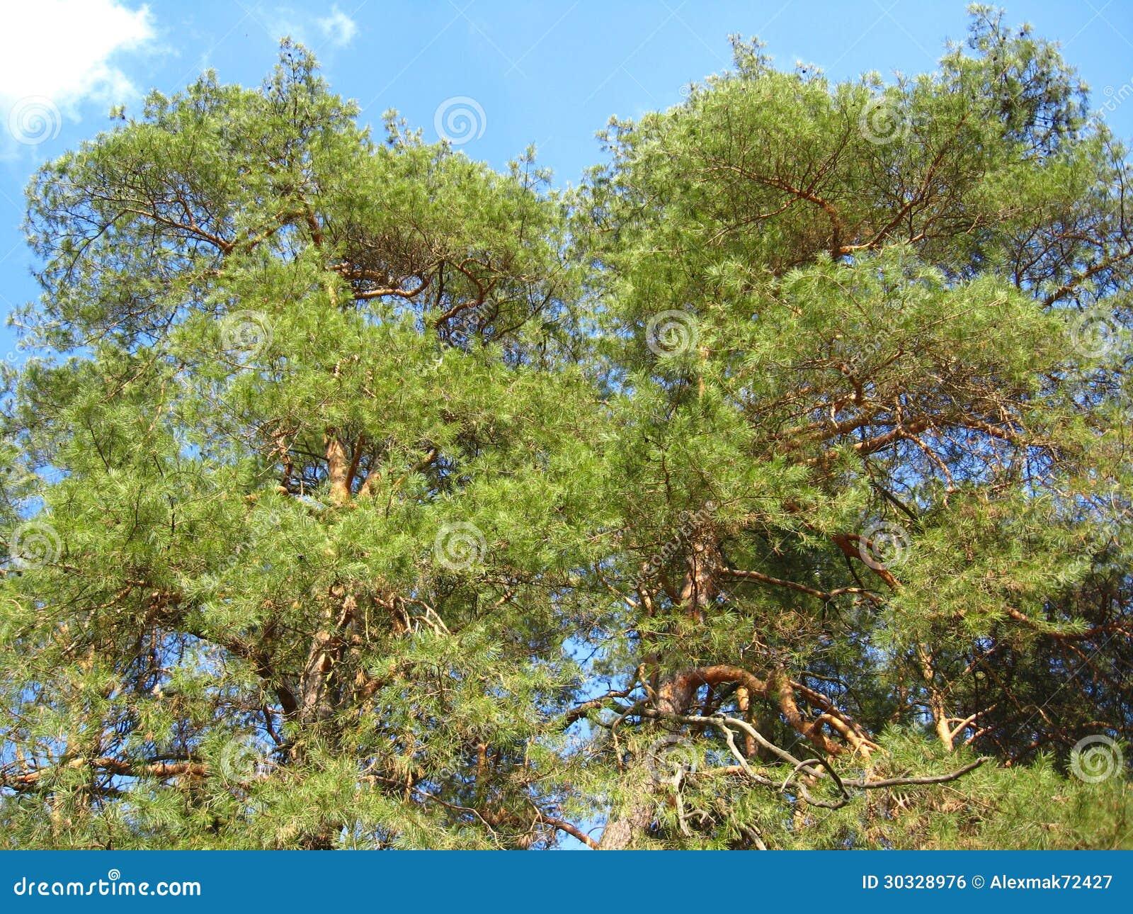 一棵年轻杉木的分支