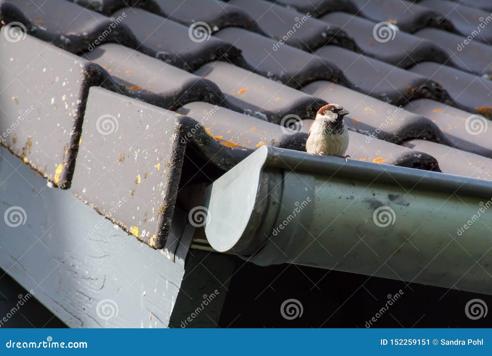 一点在房子的屋顶的麻雀