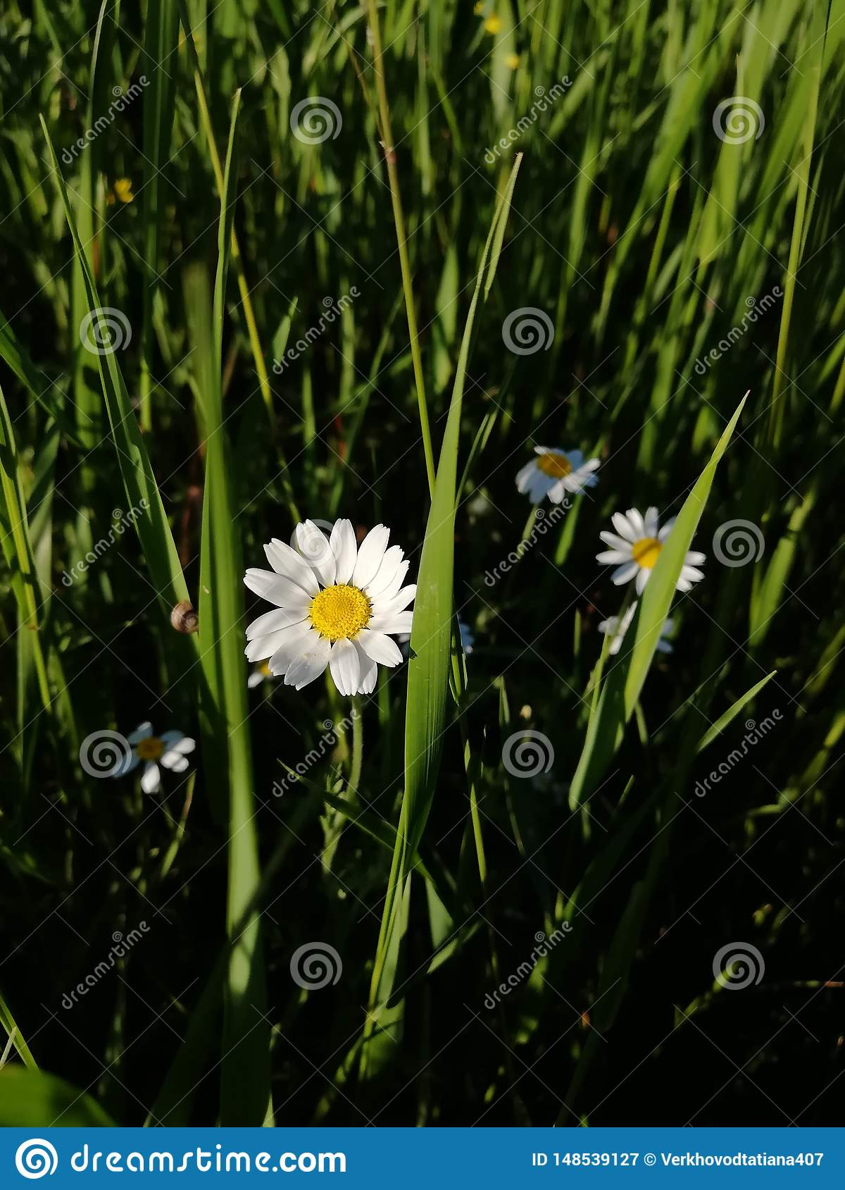 一点在领域的雏菊