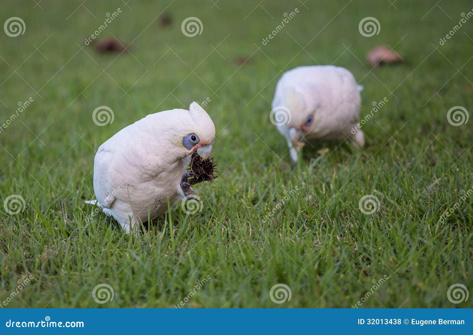 一点科雷利亚美冠鹦鹉