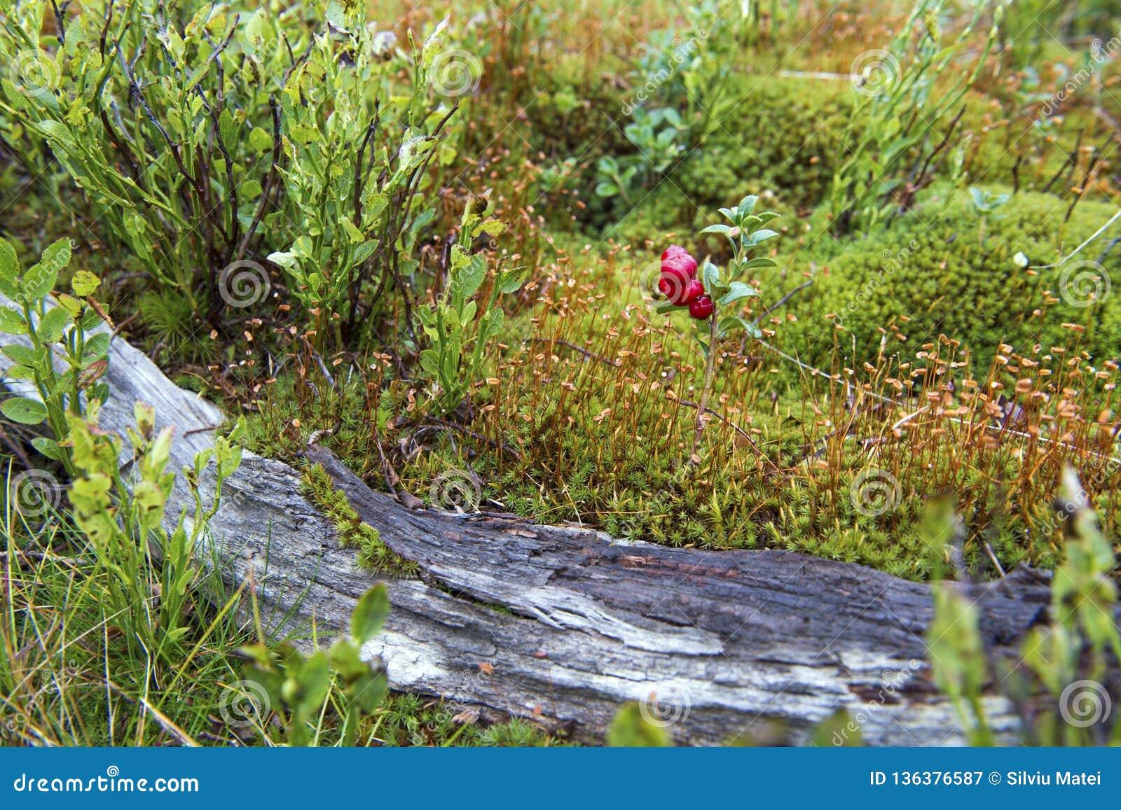 一点蔓越桔灌木在一座森林山的在秋天