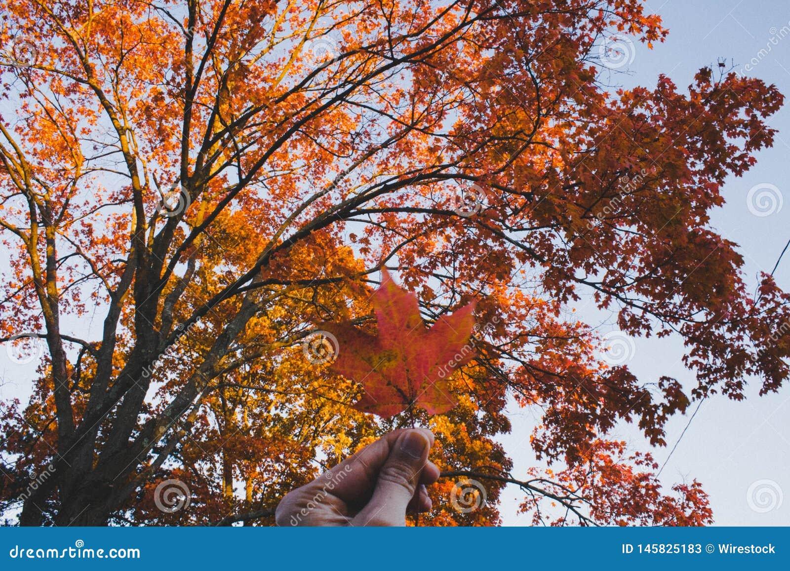 一片金黄叶子在手中有一棵美丽的秋天树的在背景中
