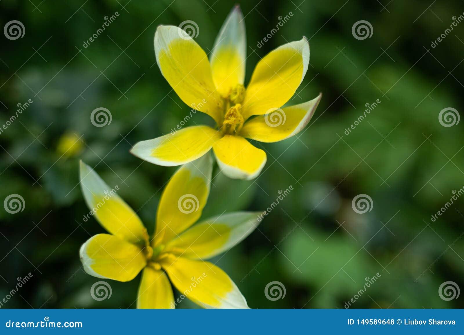 一种异常的颜色的郁金香花的宏观射击在被弄脏的绿色背景的