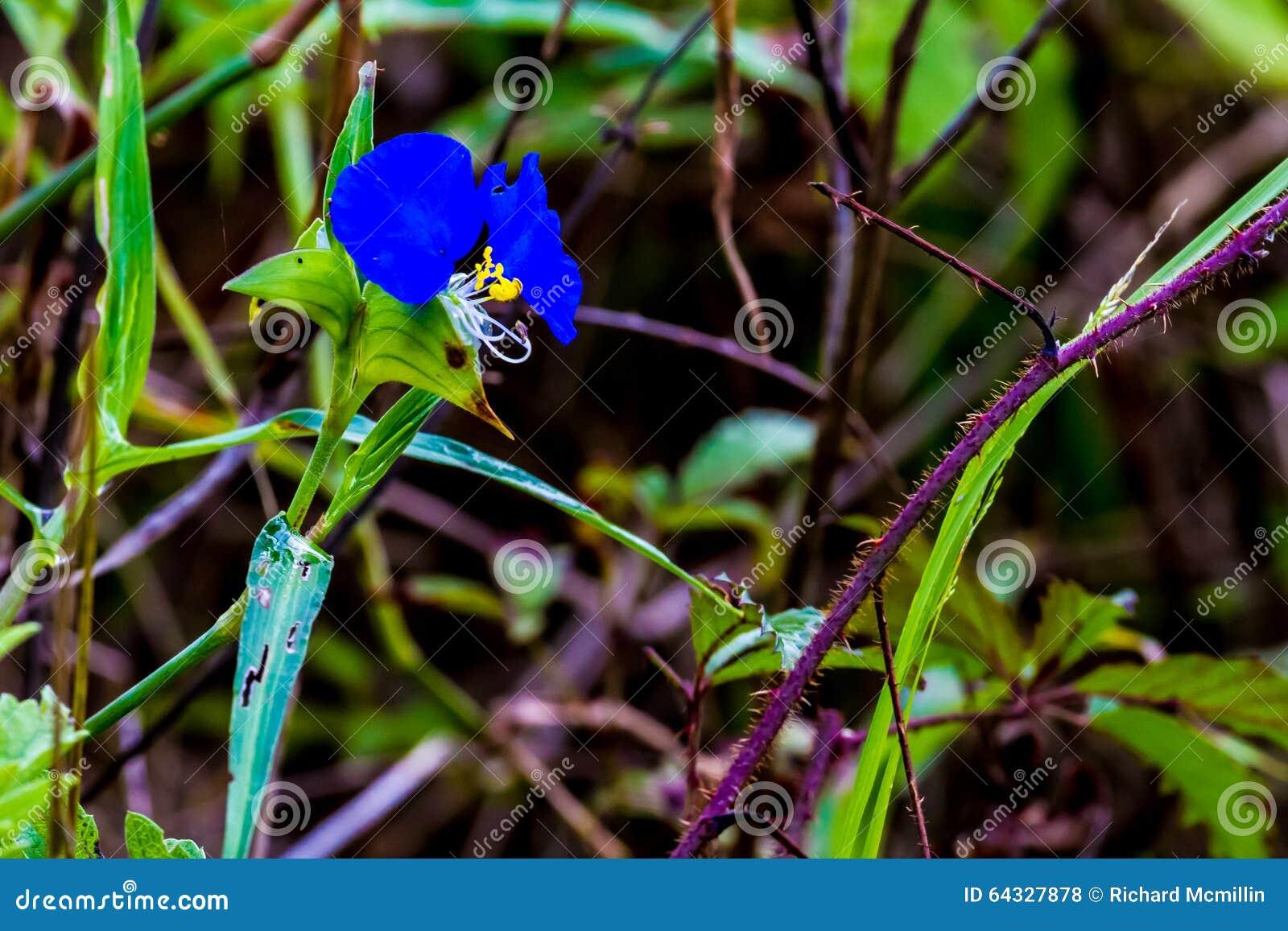 一种美丽的蓝色笔直鸭跖草