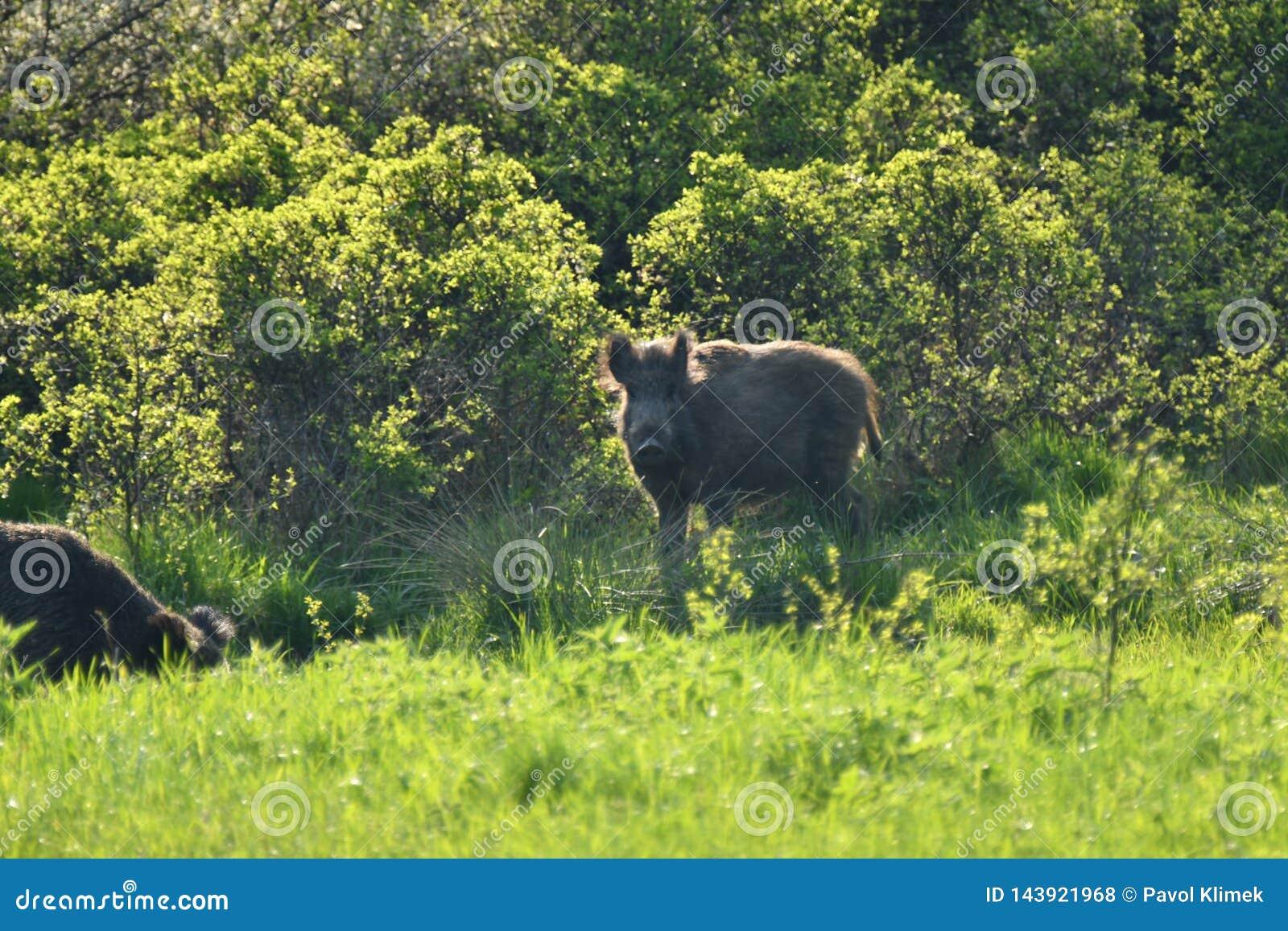 一起吃草在medow的野生生物野公猪和鹿