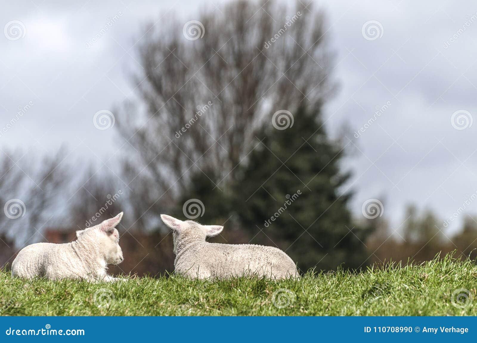 一起说谎在草坪的两只羊羔