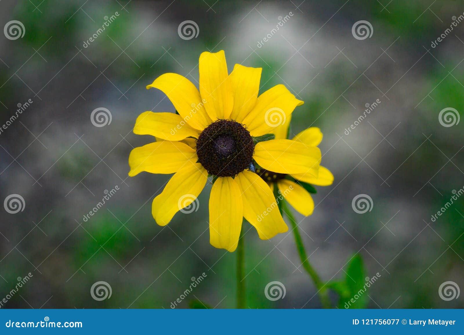 """一黑眼睛的苏珊â€的特写镜头""""黄金菊hirta"""
