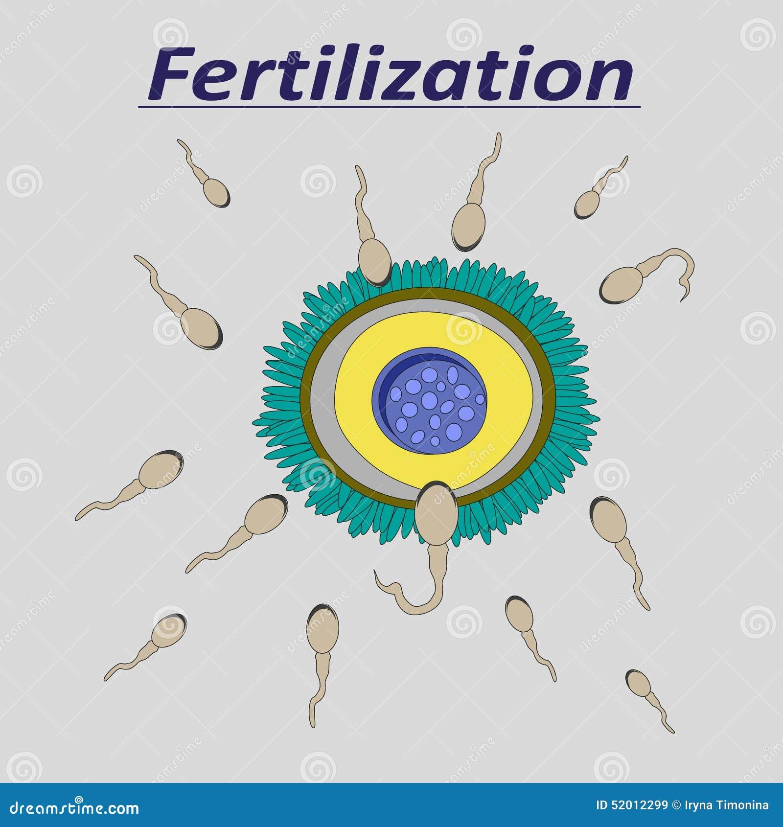一滴女性蛋受精精液的例证