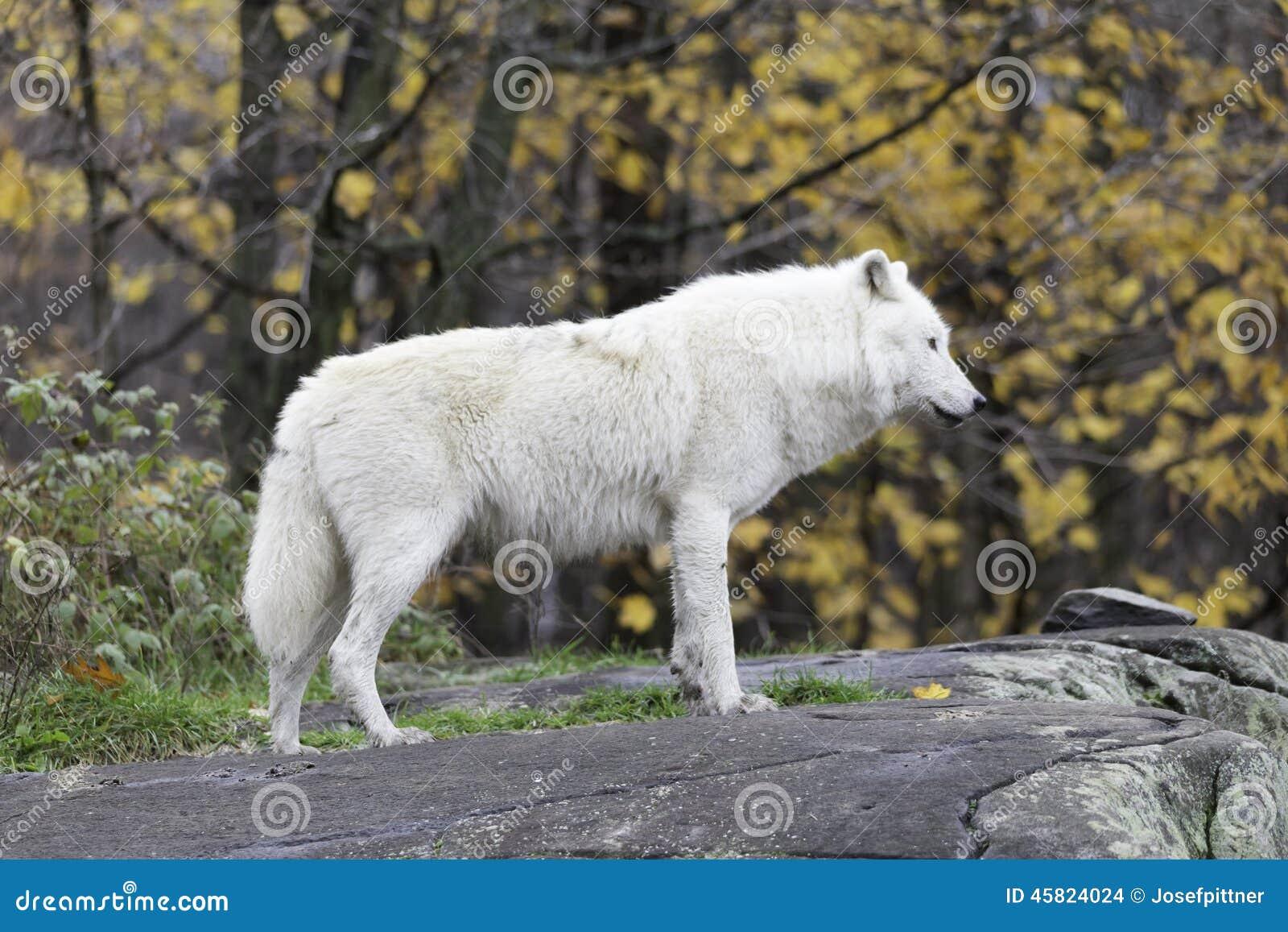 一头孤立北极狼