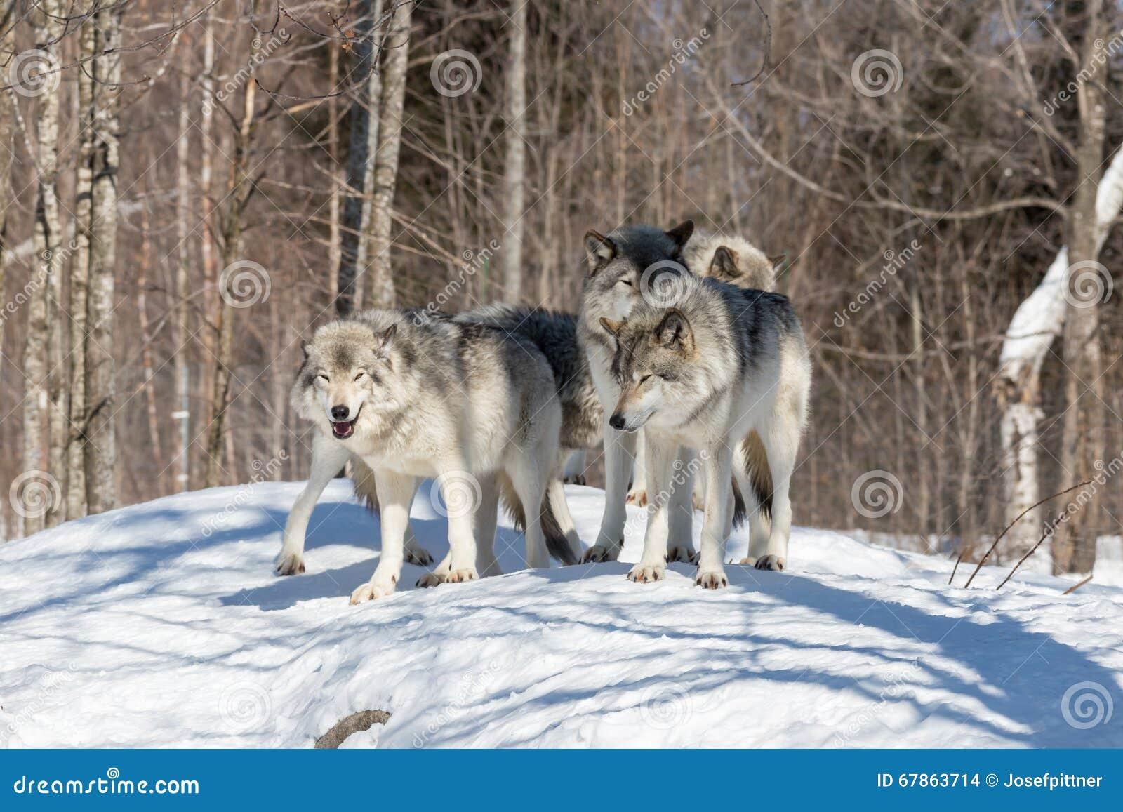 一头孤立北美灰狼在冬天