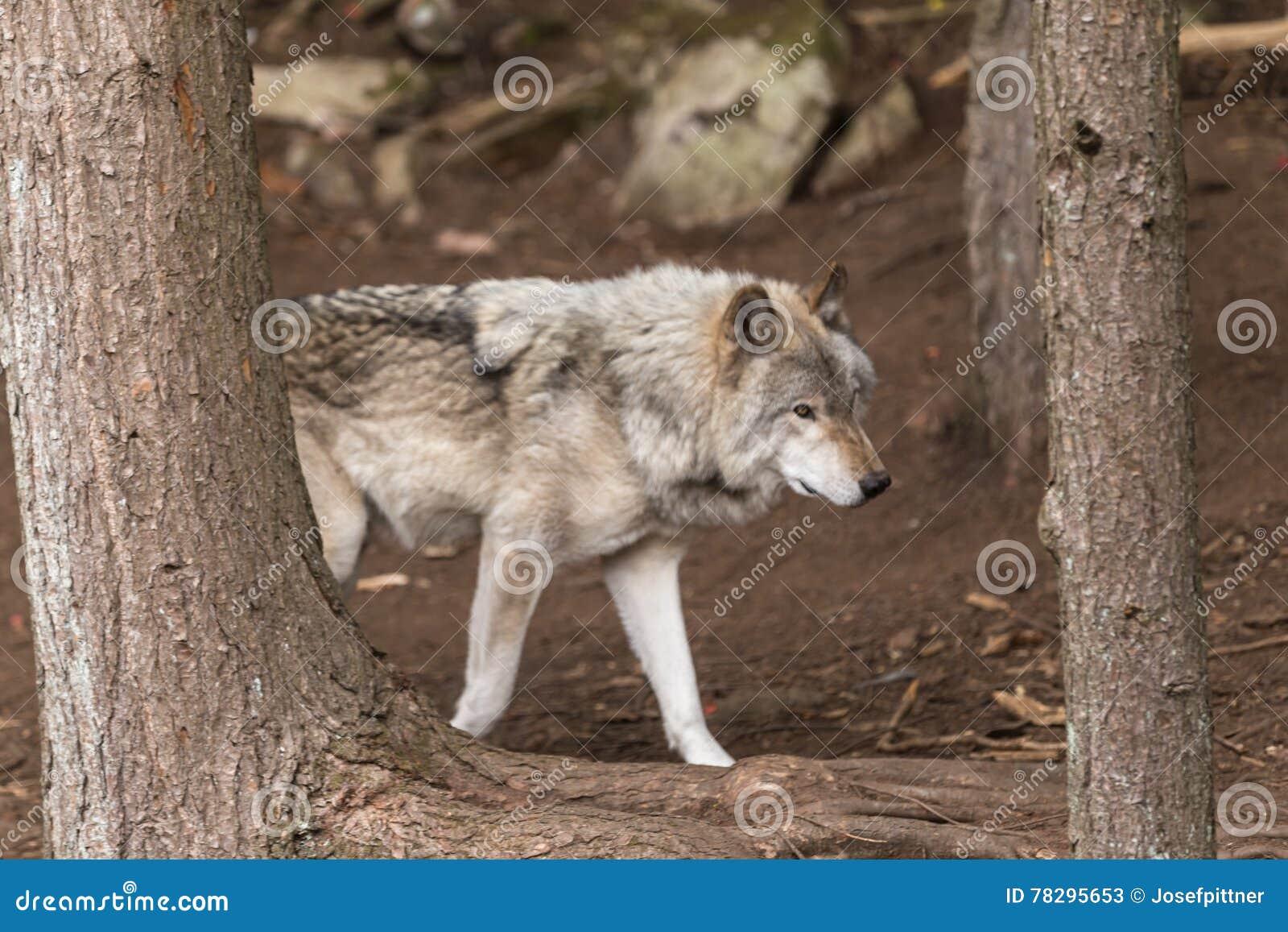 一头孤立北美灰狼在森林里