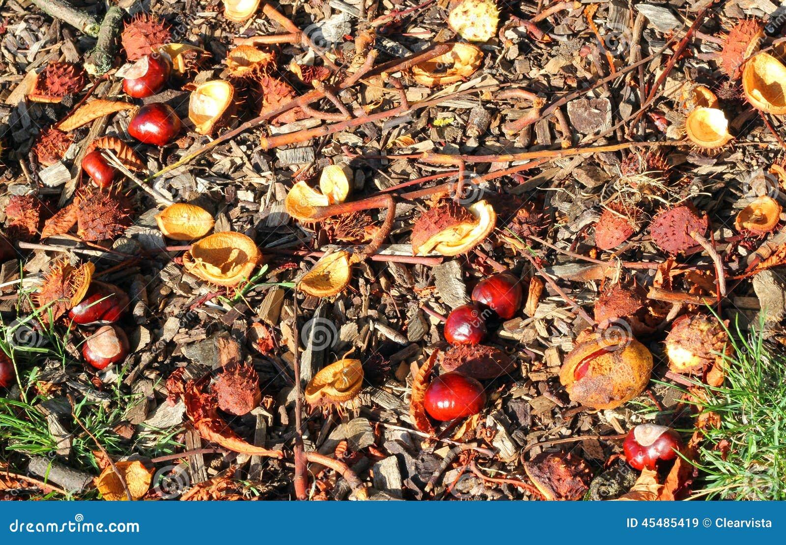 七叶树果实下落对地面在秋天或秋天