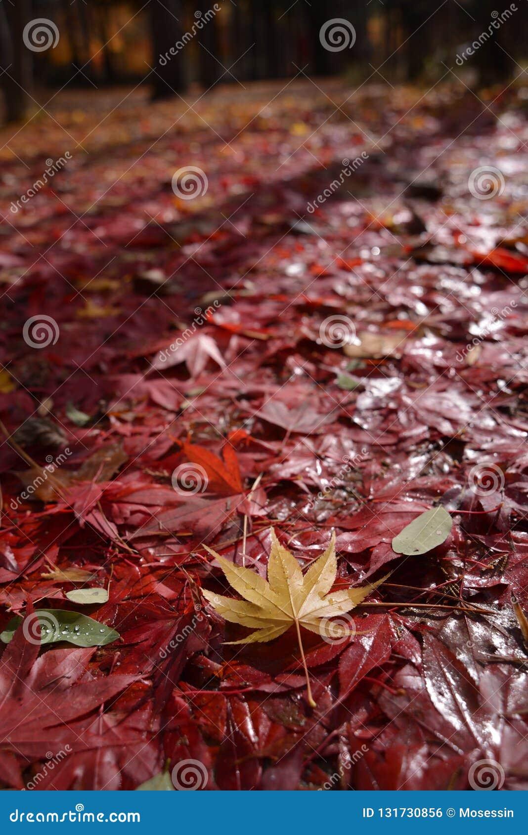 七有裂片的枫叶