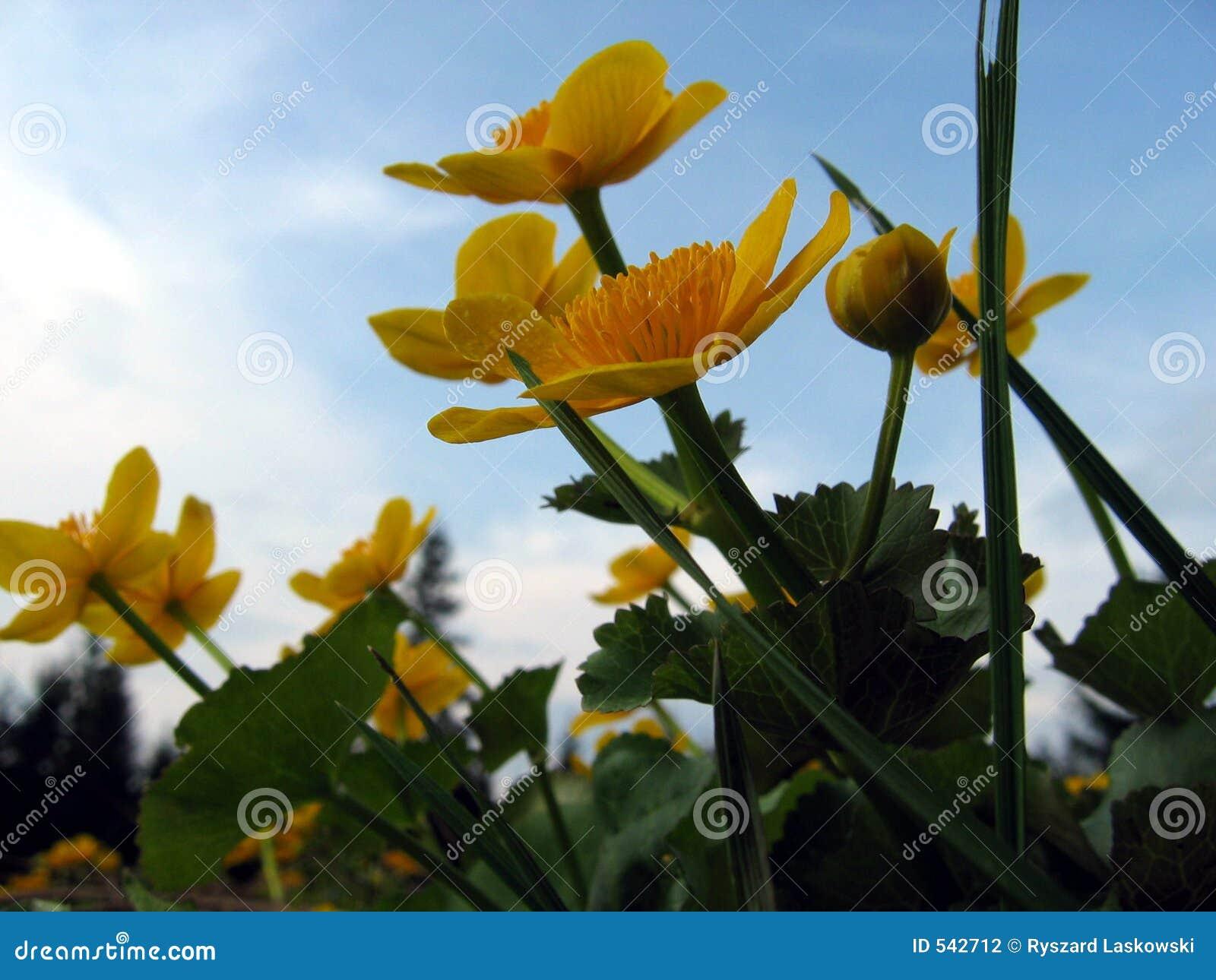 Download 万寿菊沼泽 库存照片. 图片 包括有 黄色, 宏指令, 沼泽, 春天, 万寿菊, 欧洲, 波兰, 天空, 工厂 - 542712