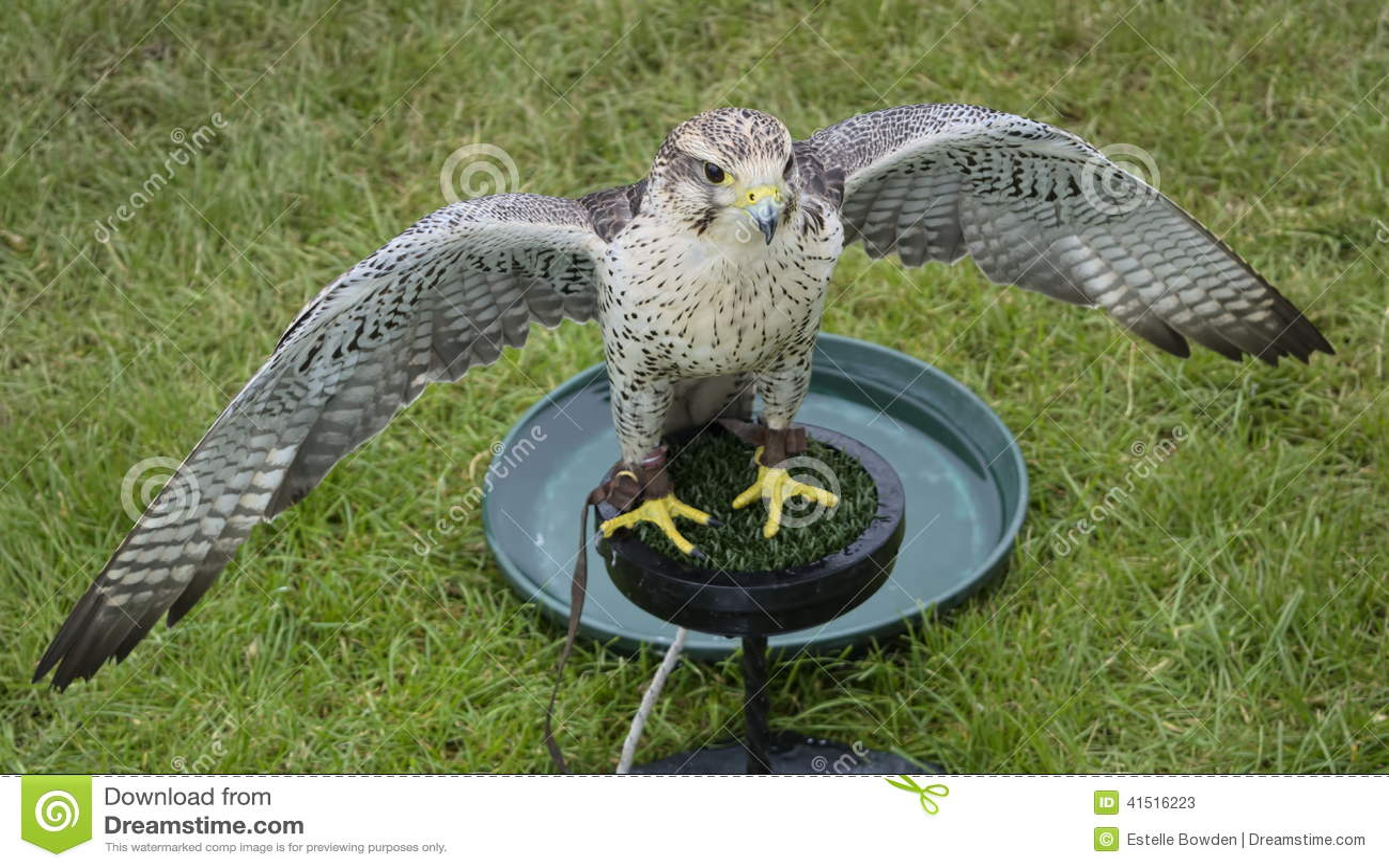 三助长的猎鹰翼传播