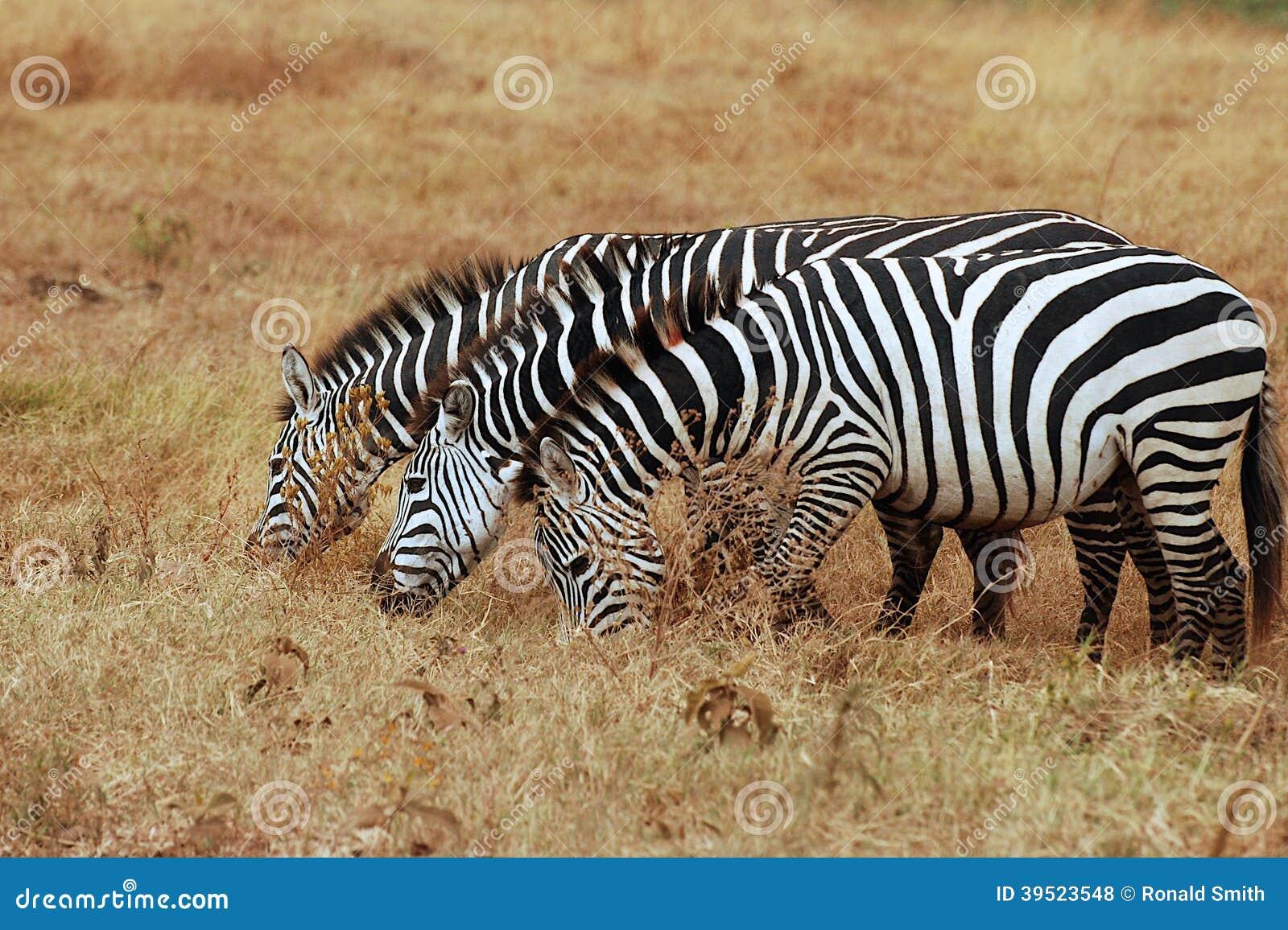 新疆三匹ki�.h:-a9��_吃草在塞伦盖蒂的三匹斑马.
