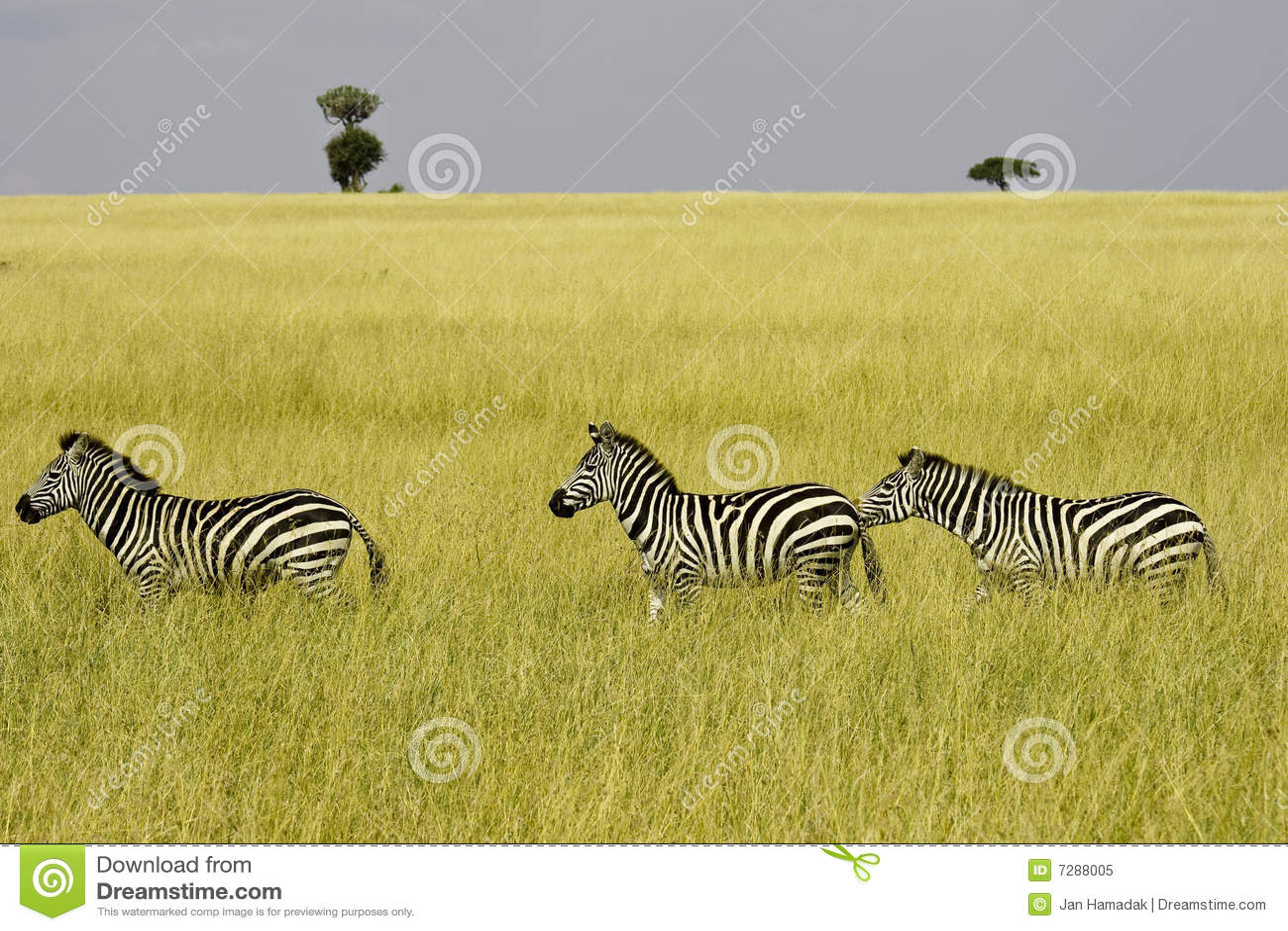 新疆三匹ki�.h:-a9��_三匹斑马