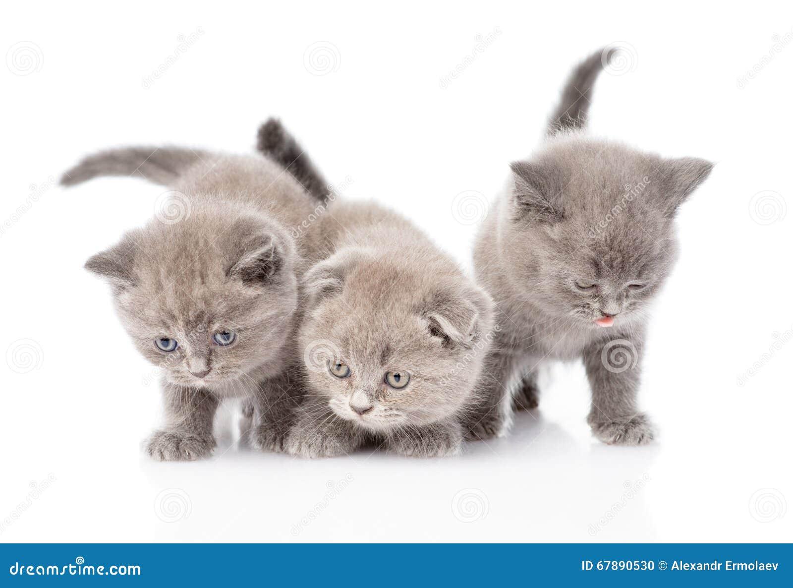 三只苏格兰小猫 背景查出的白色