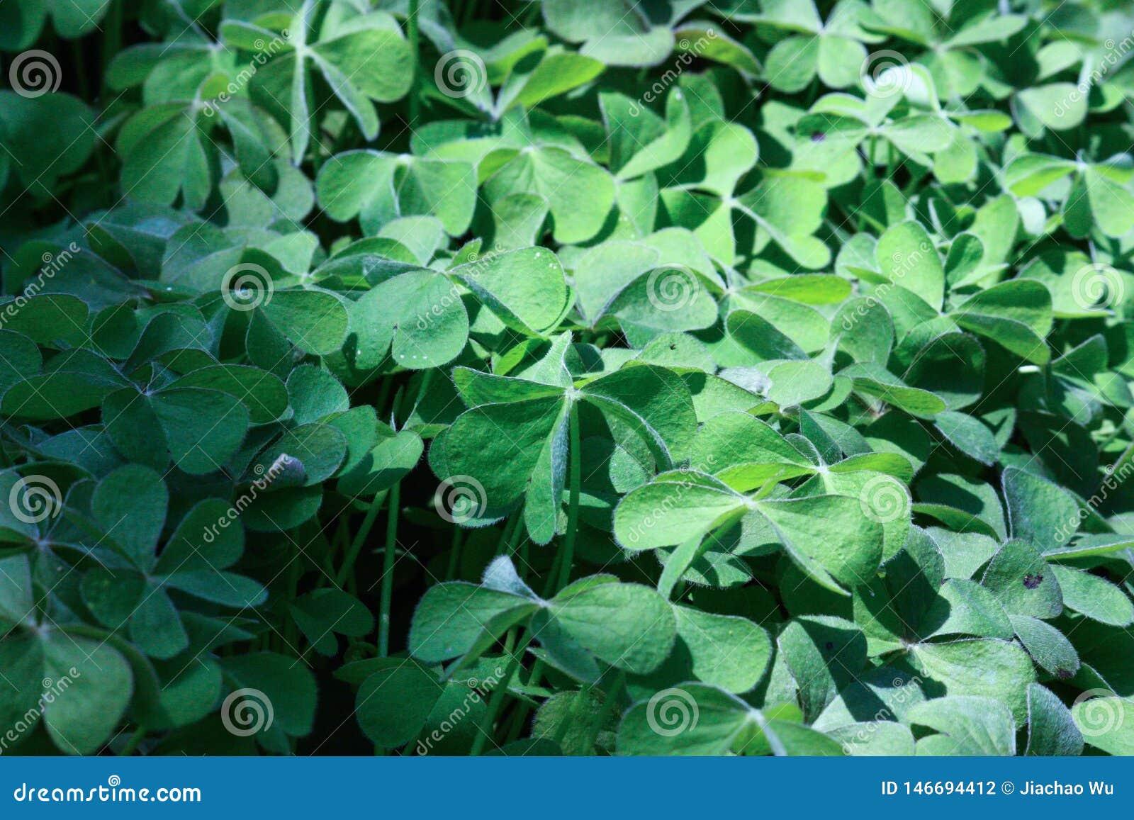 三叶草;新鲜的绿色叶子;心形的刀片