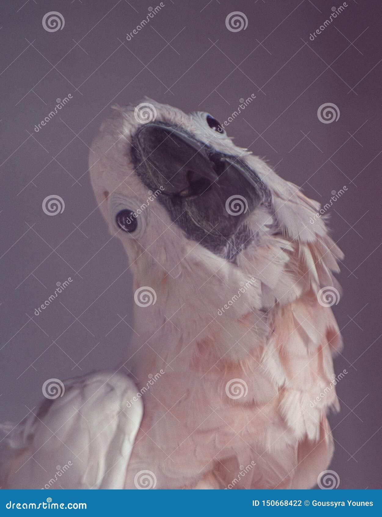 三文鱼有顶饰美冠鹦鹉鹦鹉