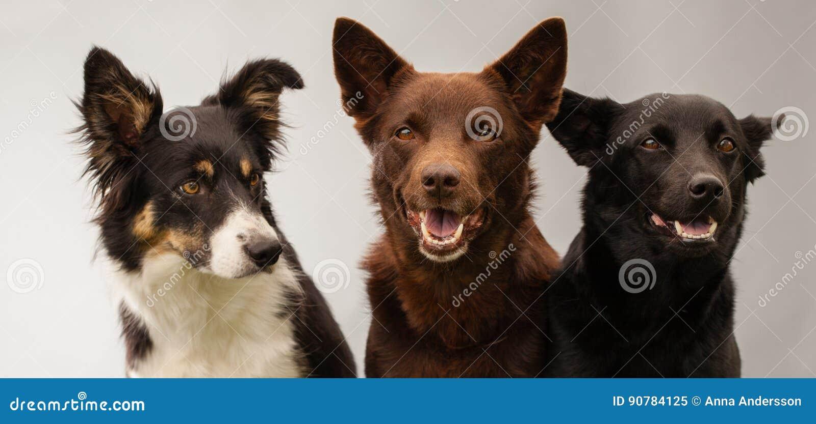 三条狗在演播室