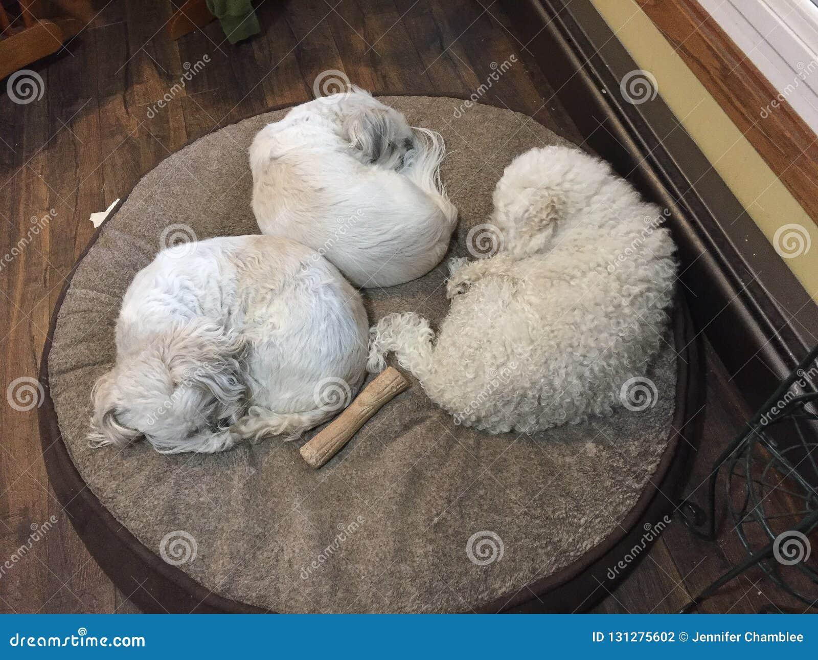 三条狗睡觉一起小睡在一张圆的狗床朋友